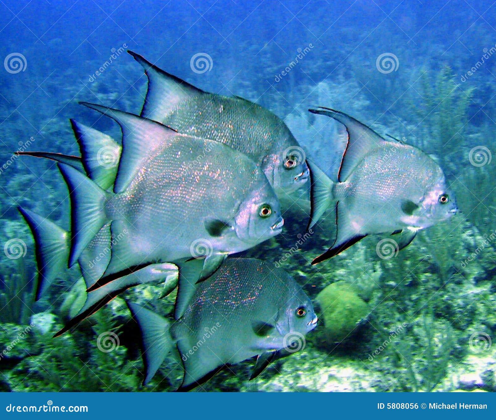 Atlantiska spadefish
