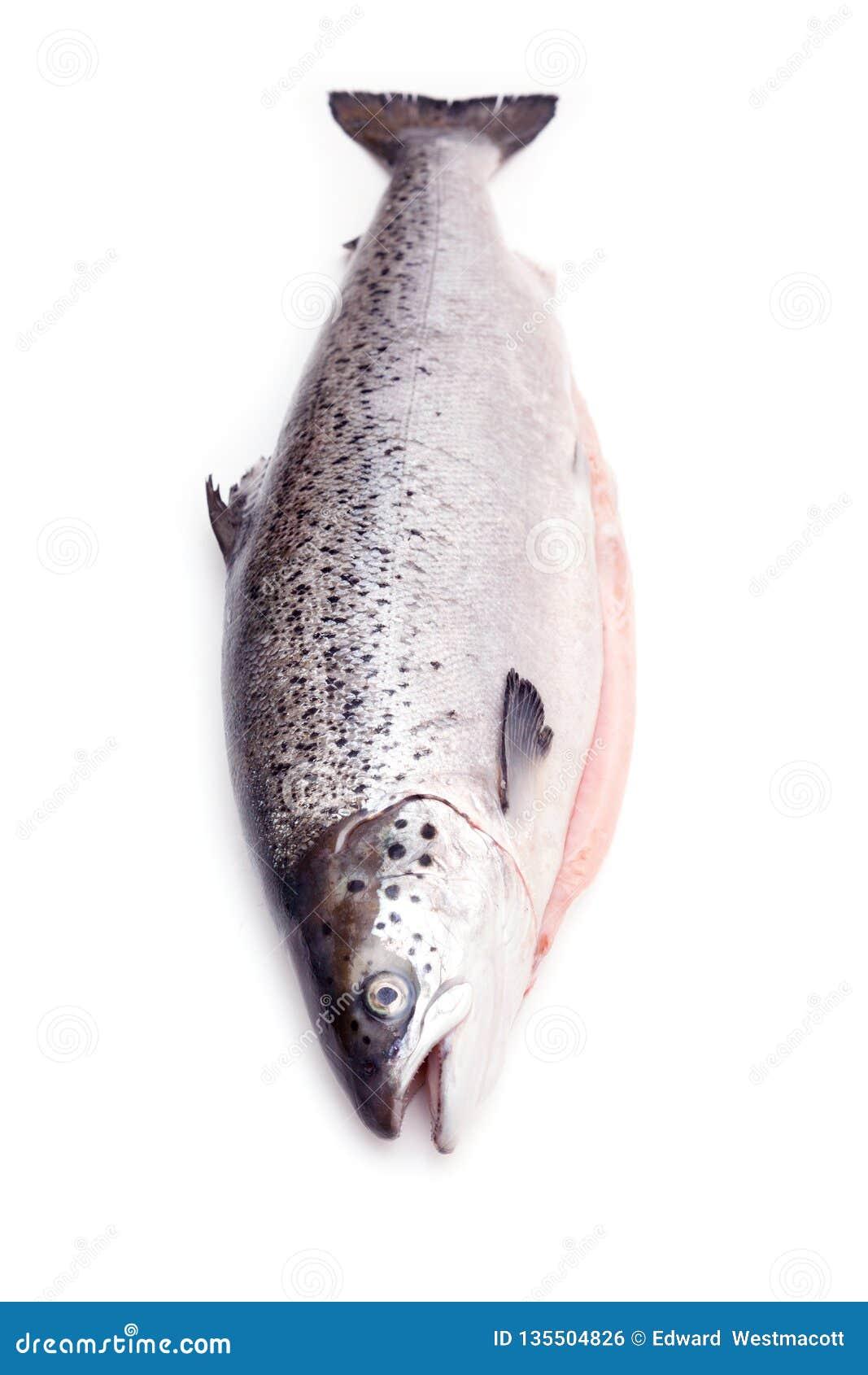 Atlantyckiego łososia ryba odizolowywająca na białym pracownianym tle