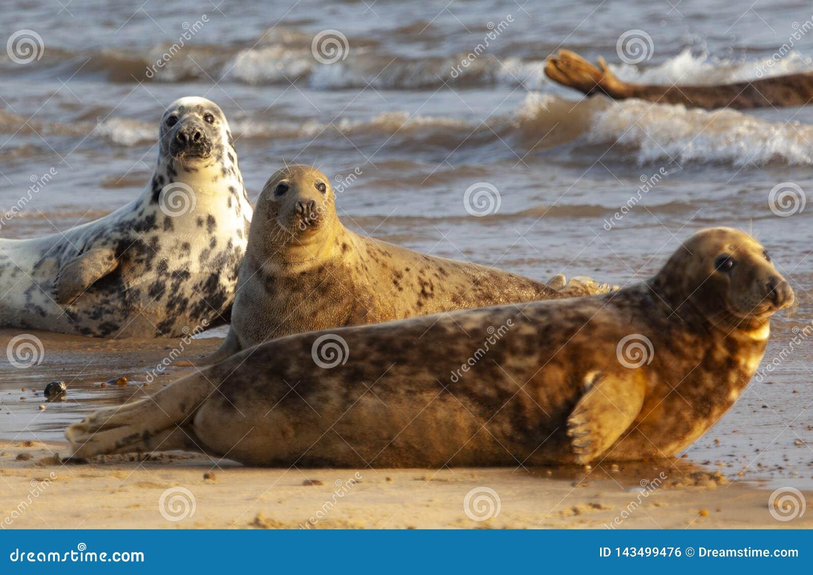Atlantyk popielata foka na pla?y