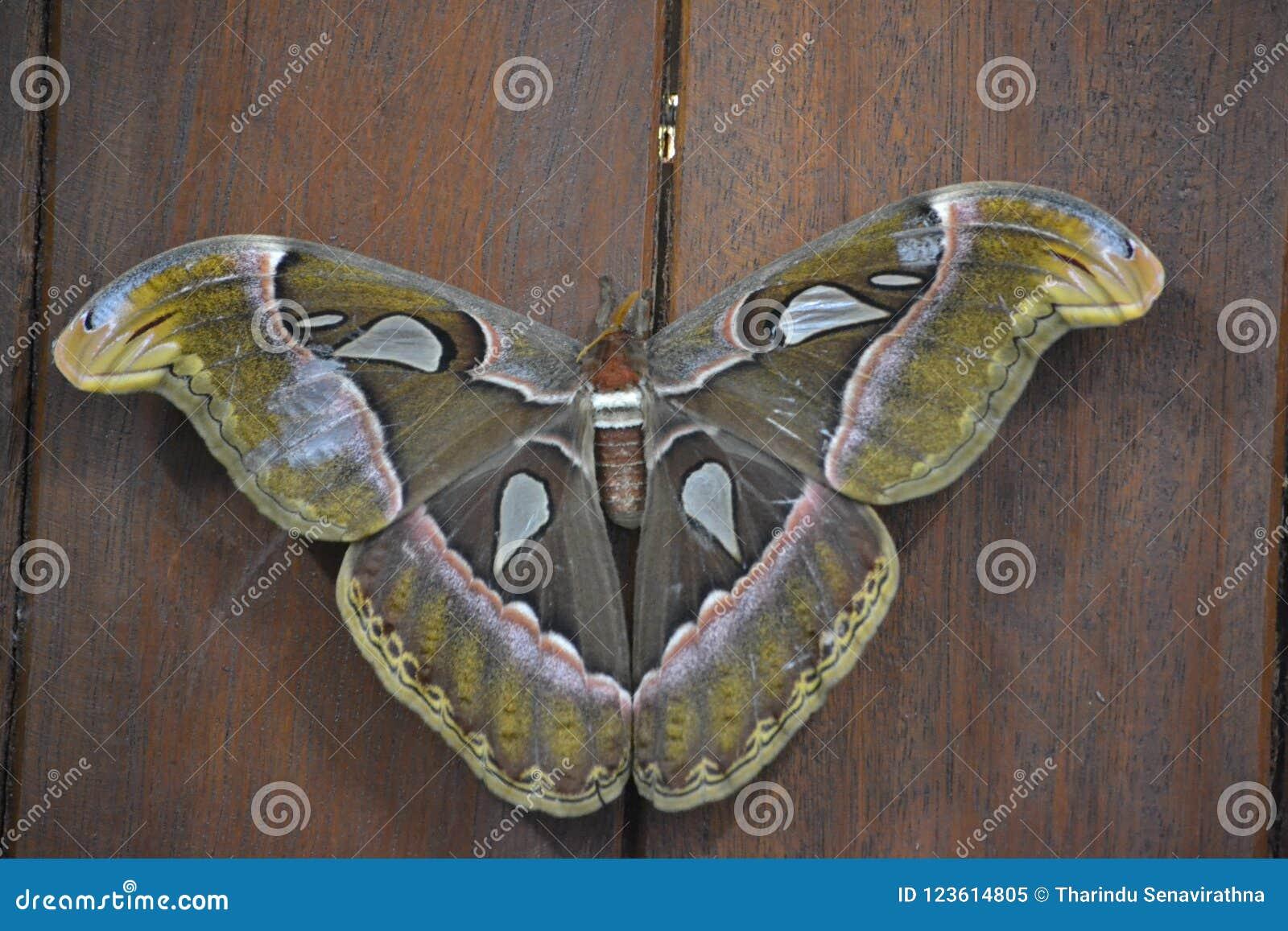 Atlas - de mottenvlinder is sri lankan ` s Biggestfather grote levensverwachting hoog is is Op het laagste niveau