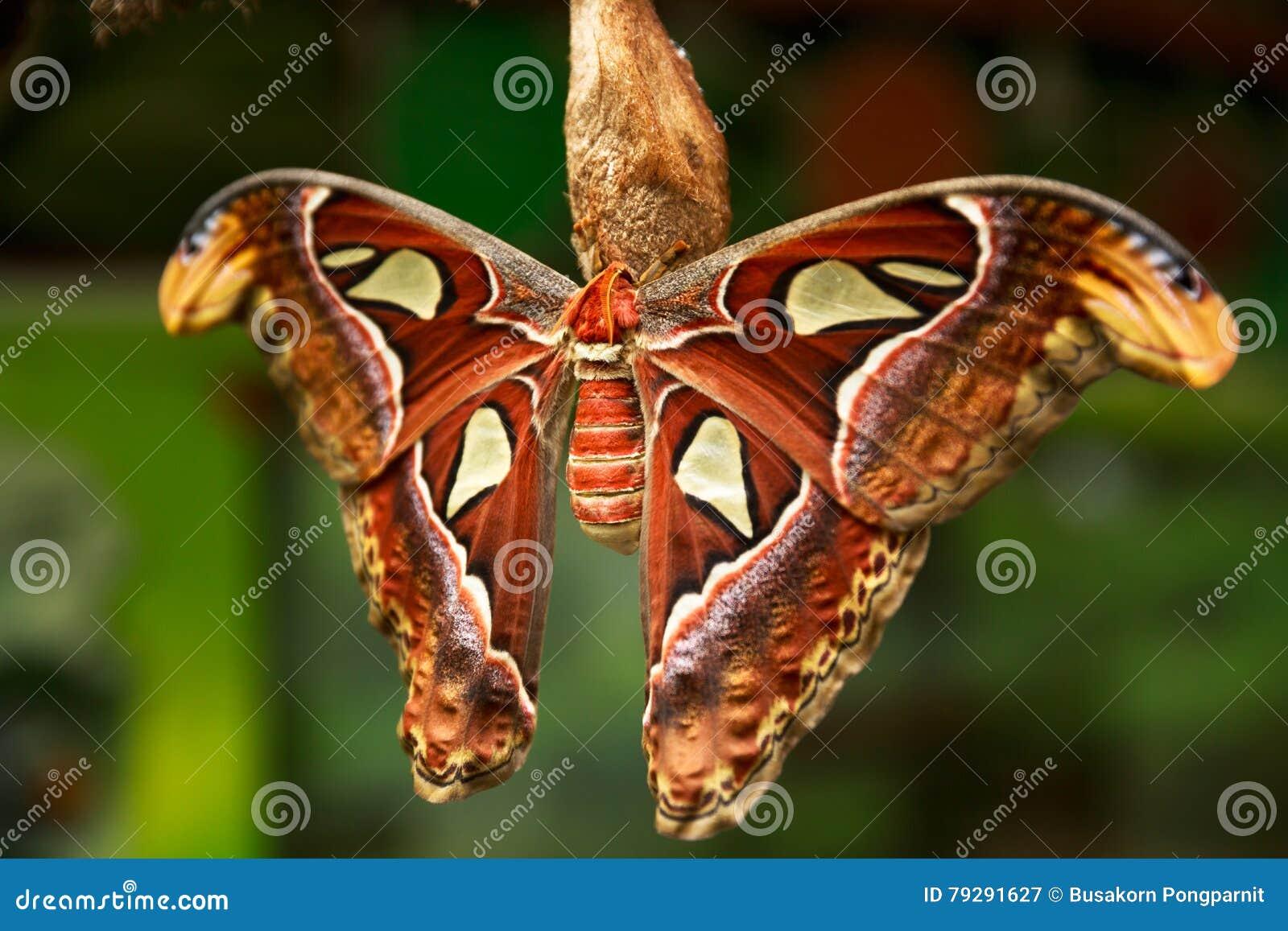 The Atlas moth Attacus atlas, Beautiful big butterfly