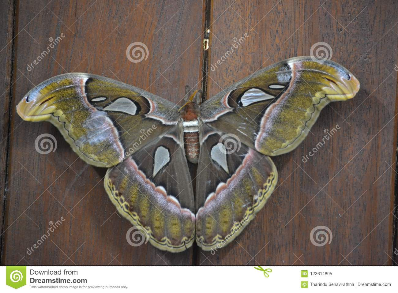 Atlas -moth butterfly is sri lankan `s the Biggest.father is great life expectancy is high.At the lowest level