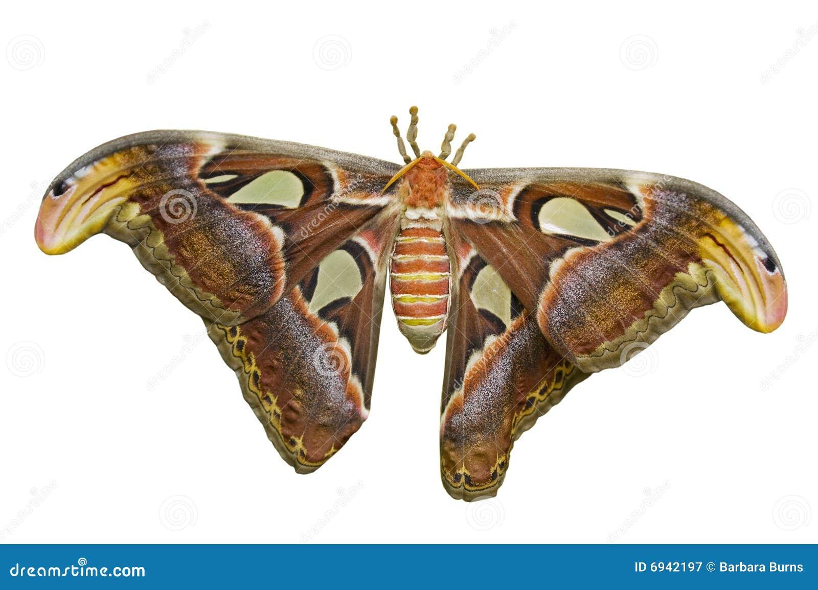 Atlas Moth Cutout