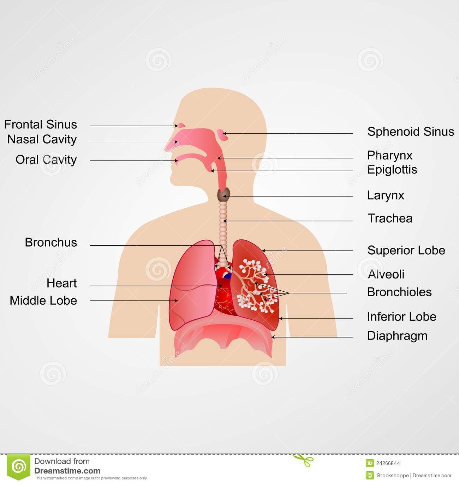 Menschliche Kurve Und Atmungssystem Stock Abbildung - Illustration ...