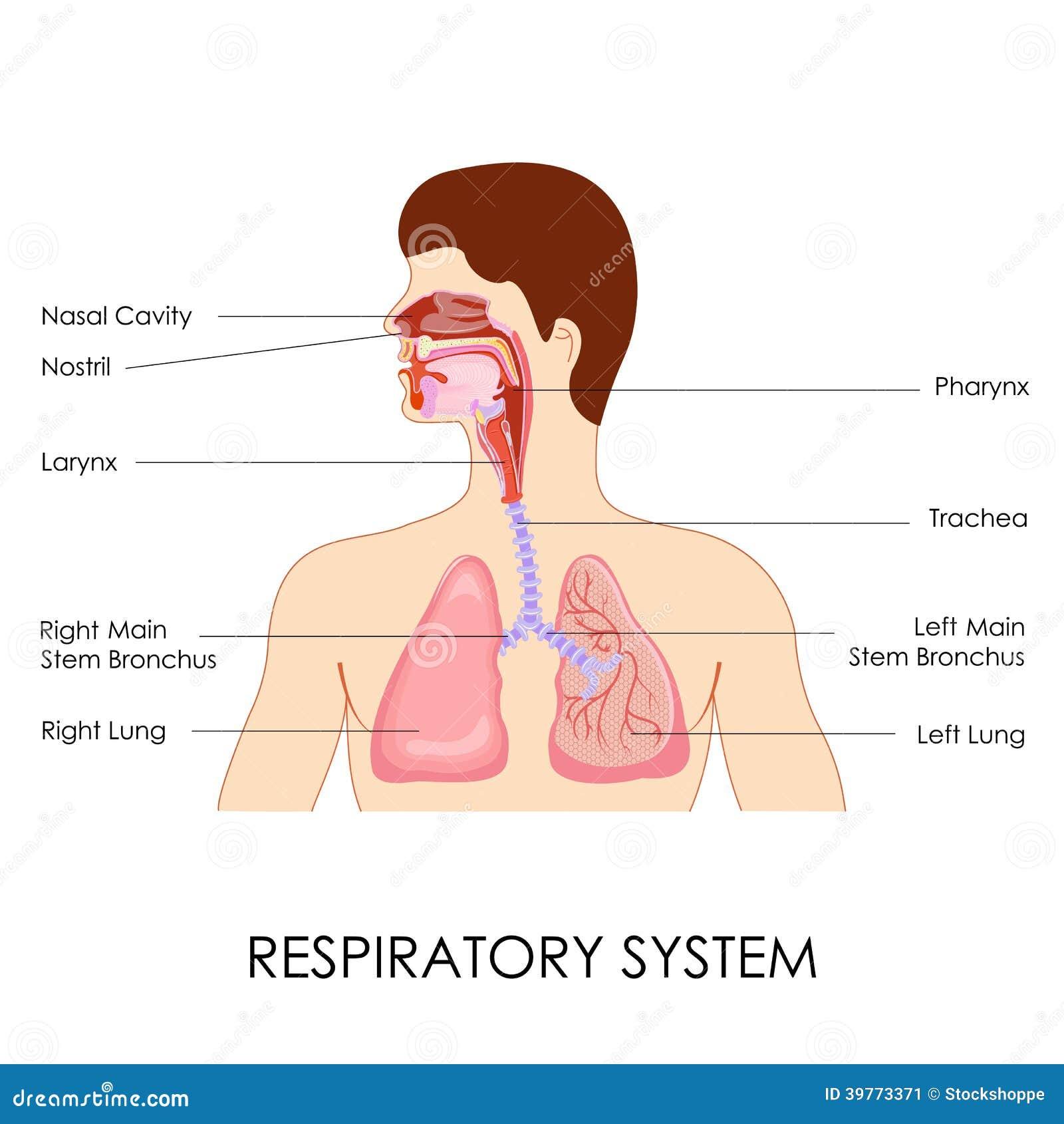Niedlich Funktion Des Atmungssystems Fotos - Menschliche Anatomie ...