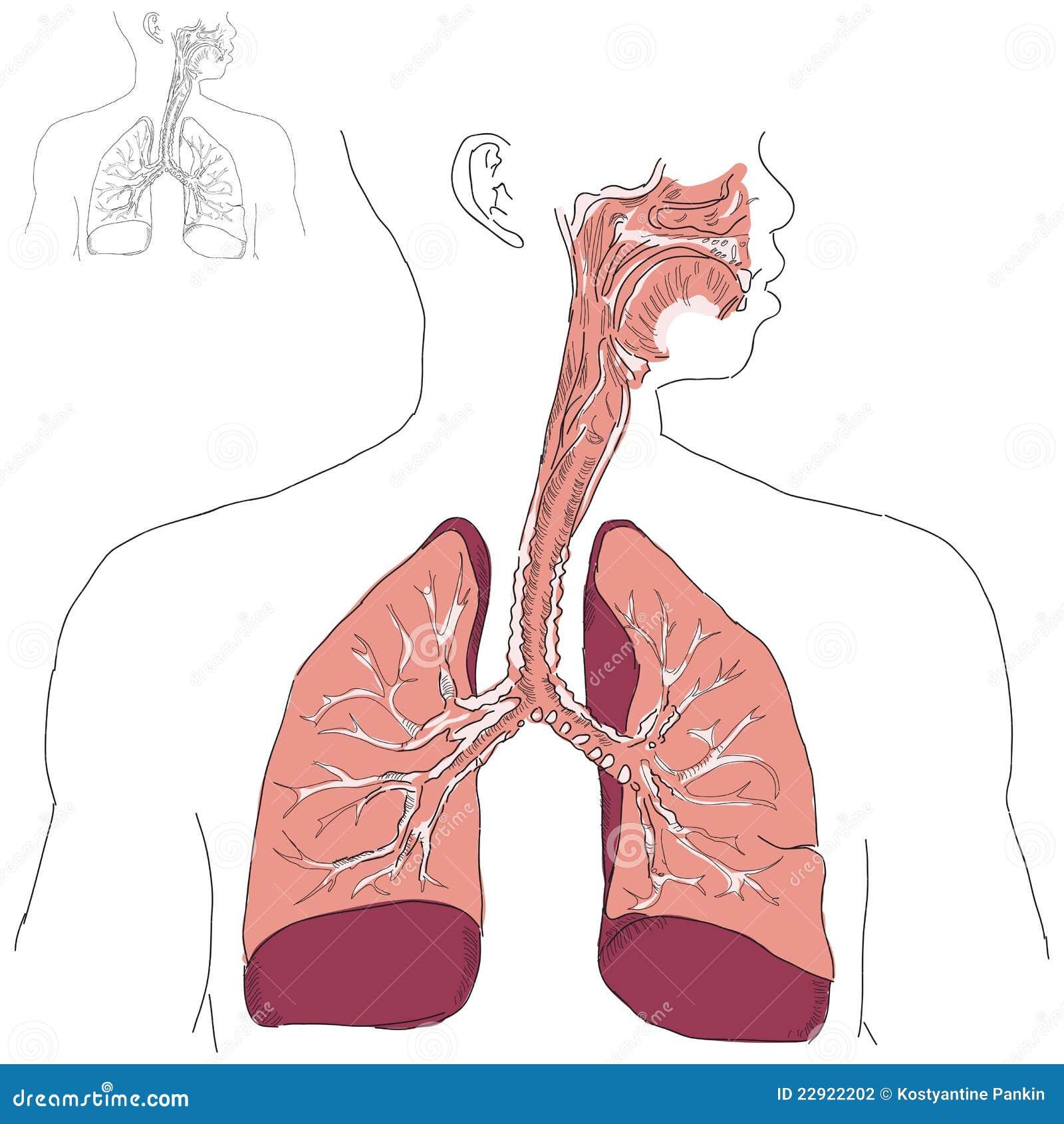 Beste Hauptorgane Des Atmungssystems Zeitgenössisch - Anatomie Von ...