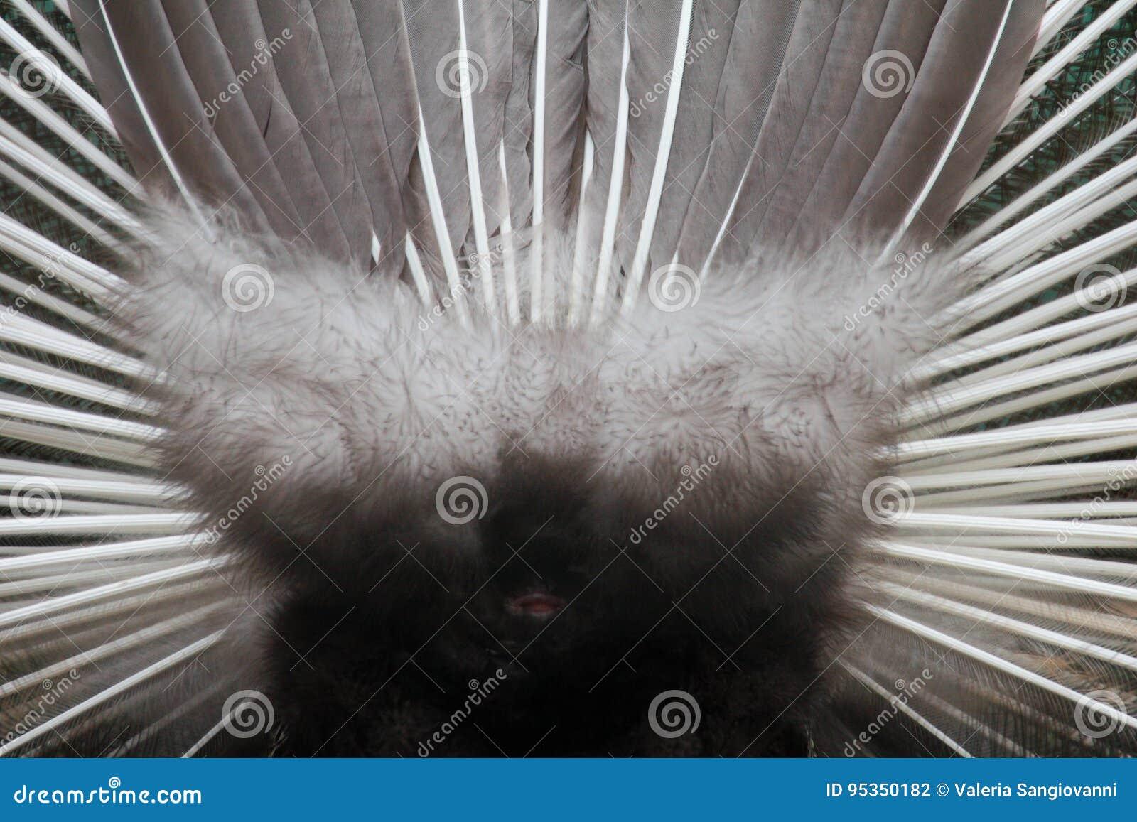 Atrás da roda do pavão