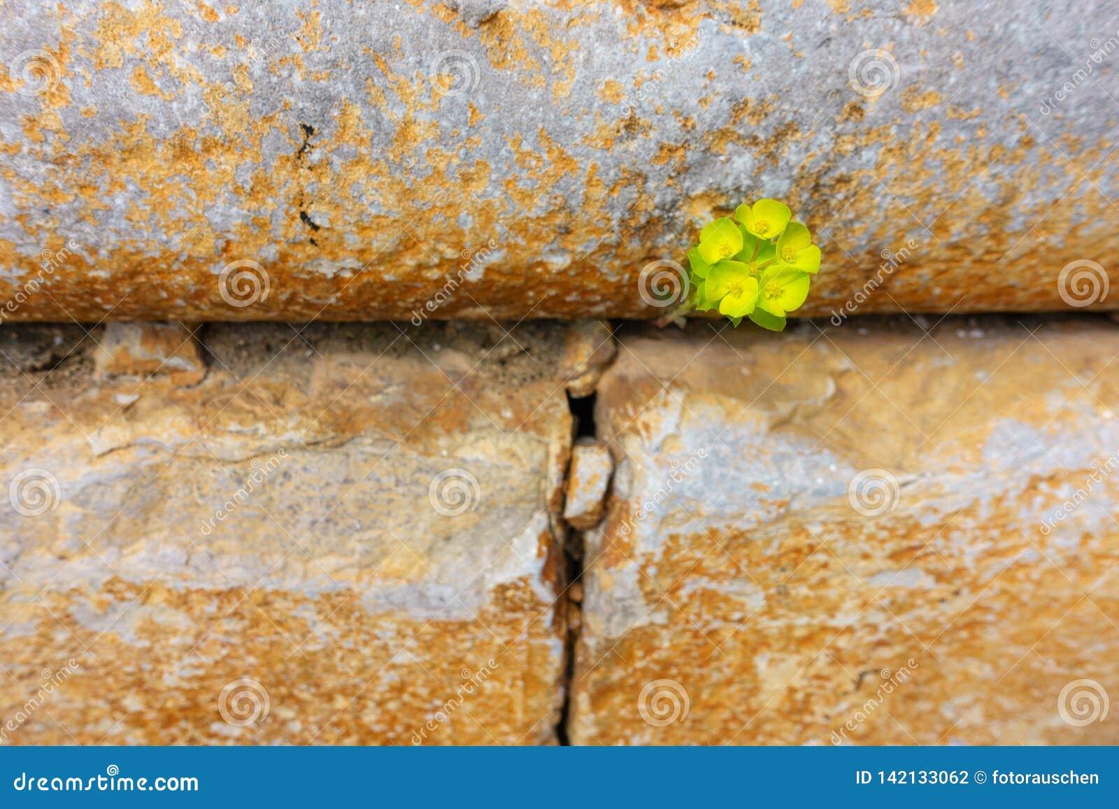 Atravessar a parede - a planta encontra que é própria maneira