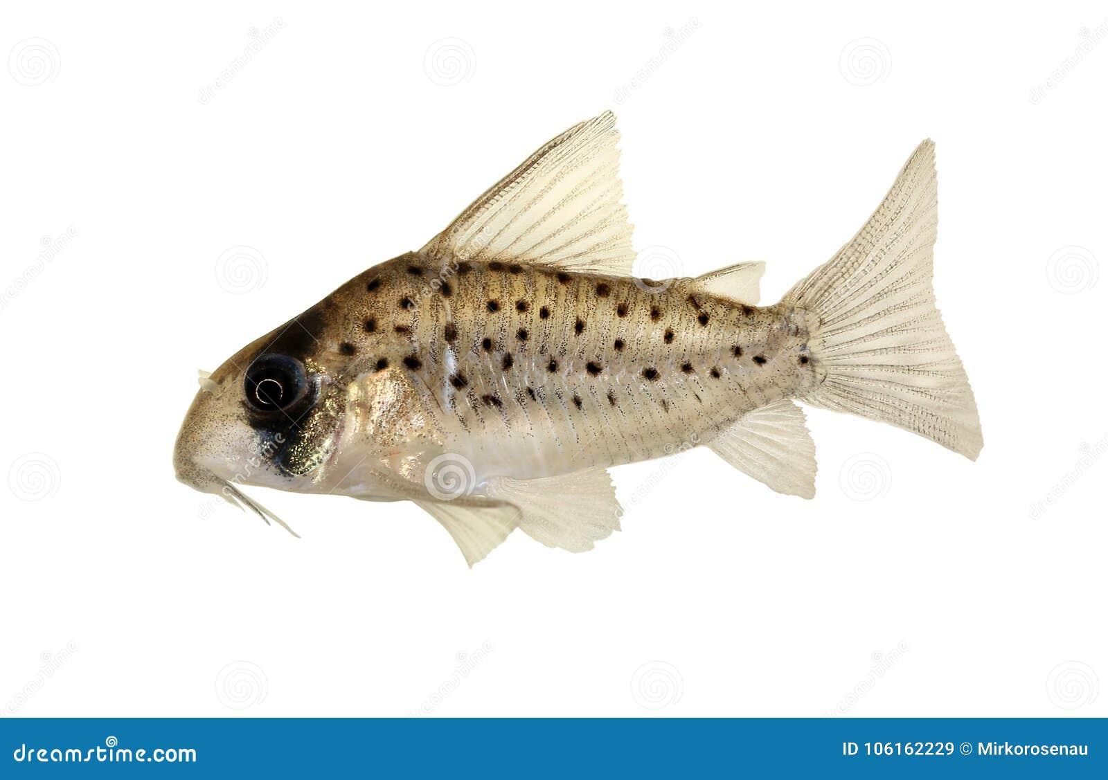 Atropersonatus Feen-Cory Dotteds cory Corydoras Aquariumfische