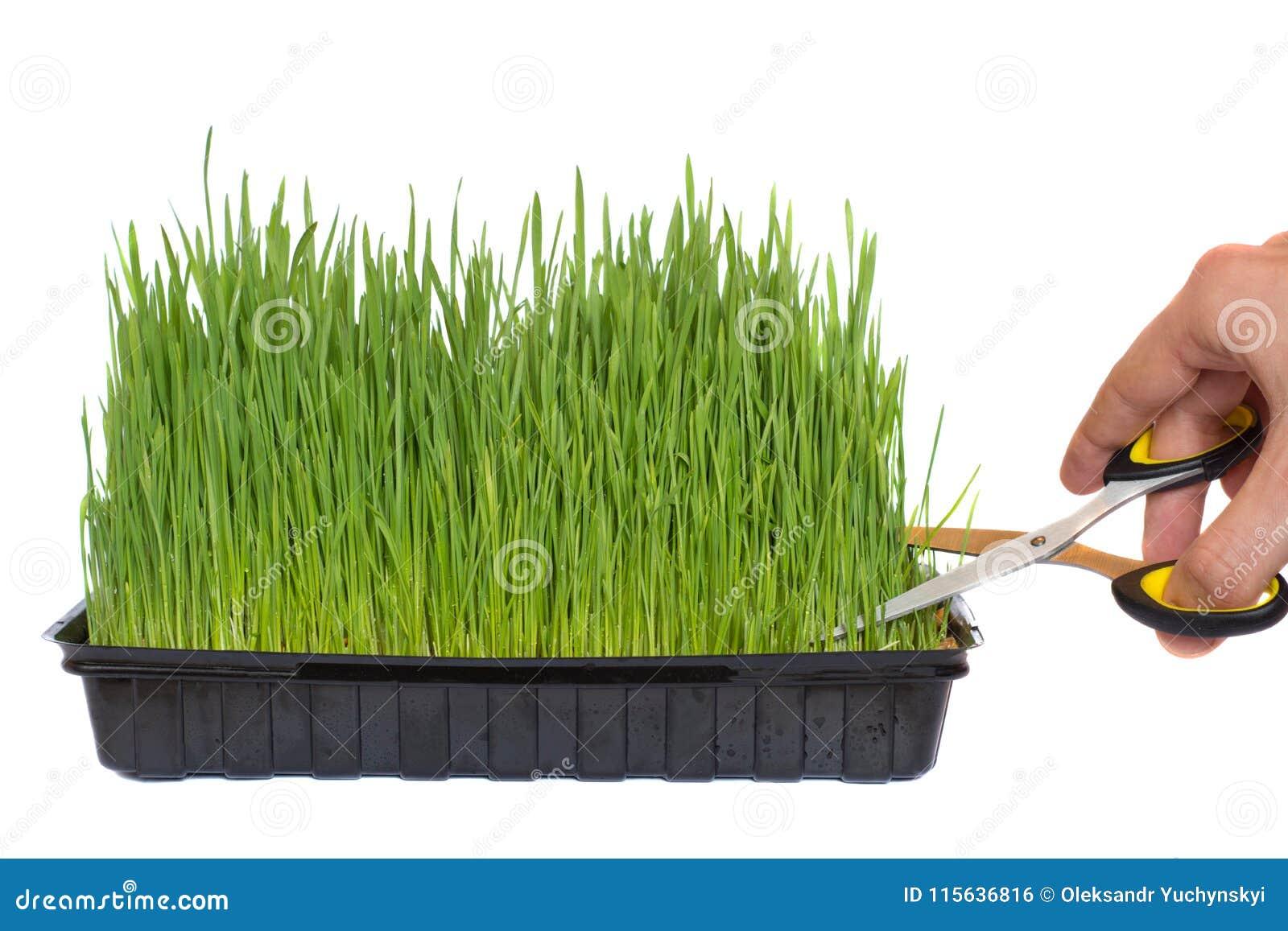 Att beskära av vete spirade i en behållare med sax