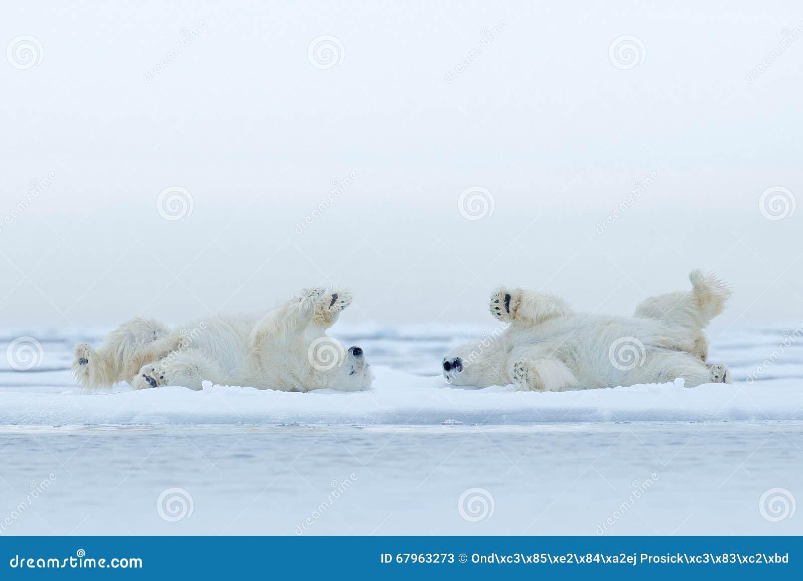 Att ligga för två isbjörn kopplar av på drivais med snö, vita djur i naturlivsmiljön, Kanada
