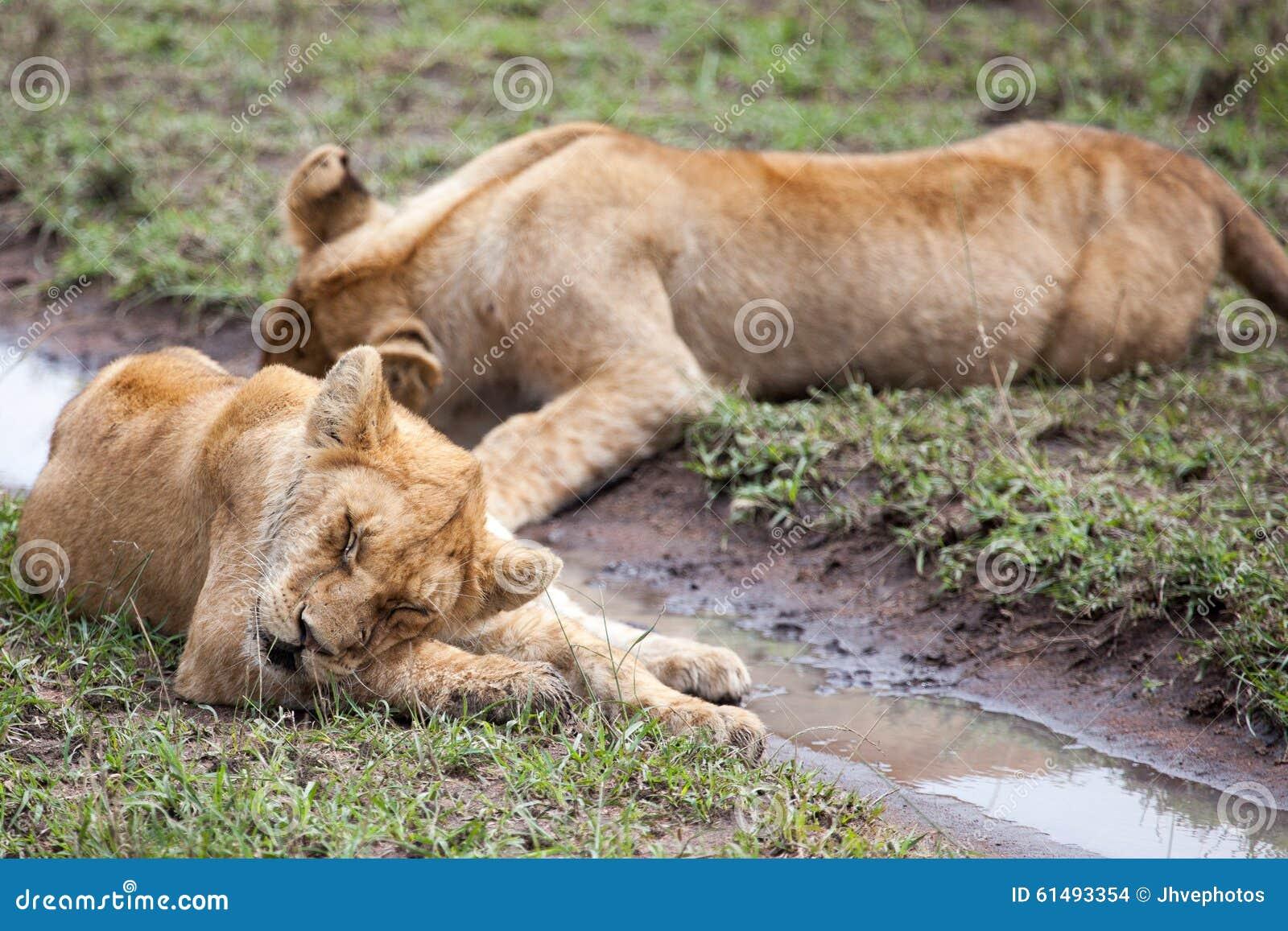 Att slicka för lejoninna som är dess, tafsar