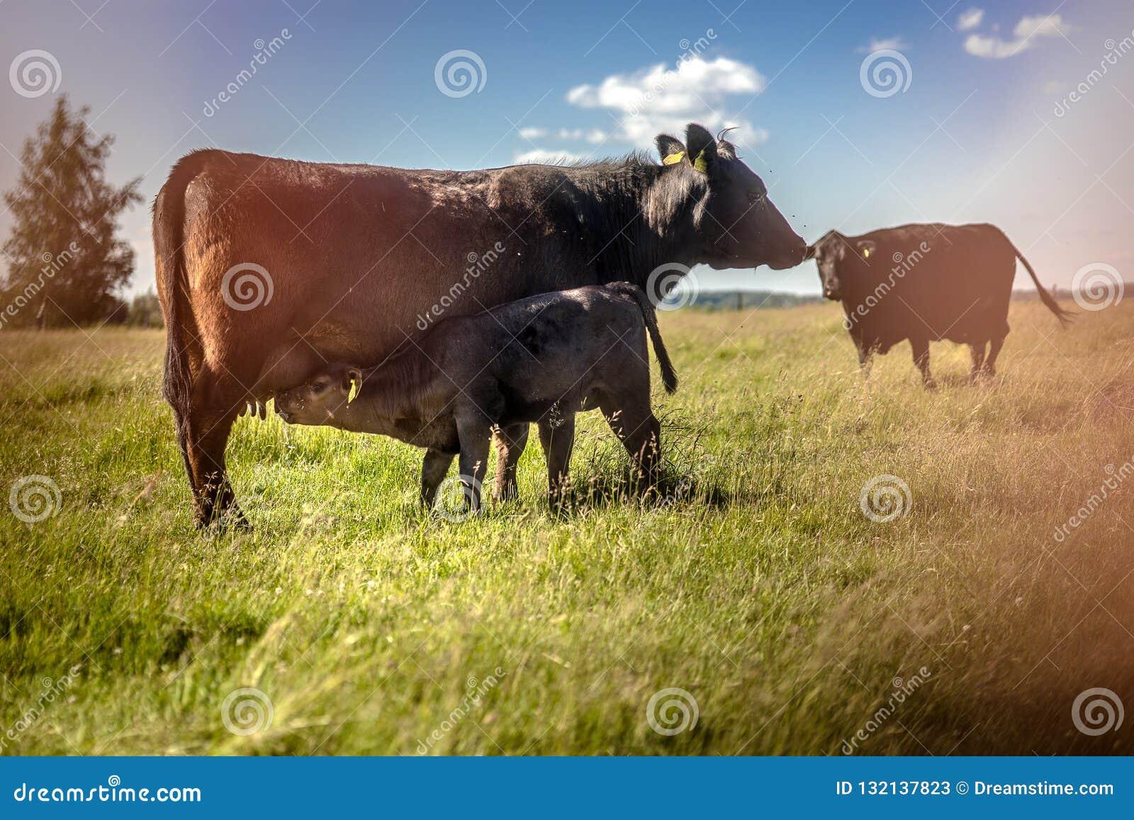 Att suga för den Yong svartangus kalven mjölkar på gräs i solig dag