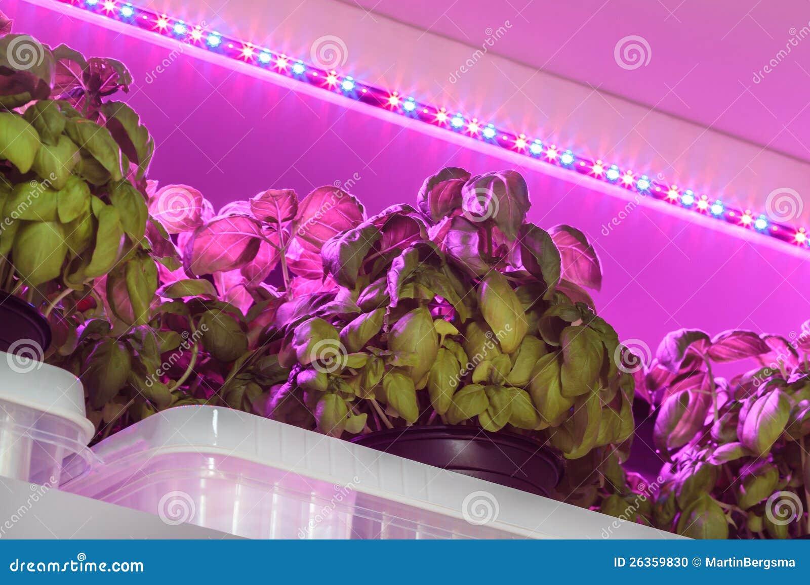 Att tända för ljusdiod som är van vid, växer basilika inom ett lager