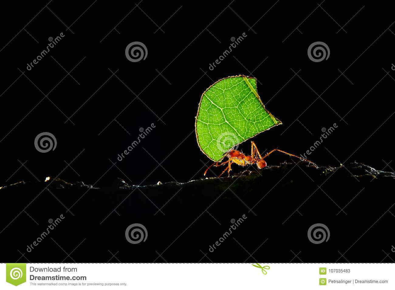 Atta ants, Leafcutter Ants, Costa Rica, macro of a red leafcutter ant