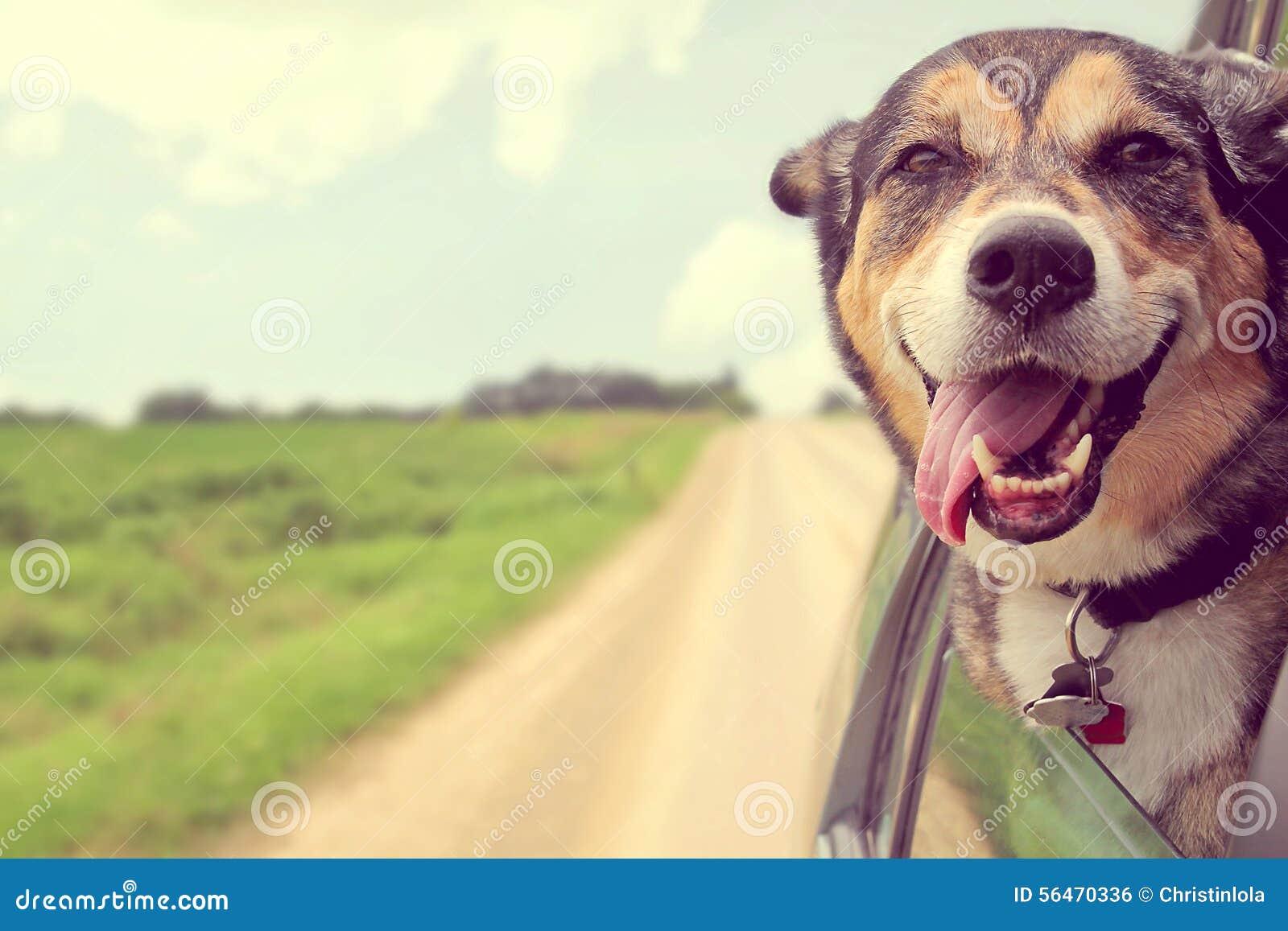 Attaccare felice del cane dirige fuori la finestra di automobile