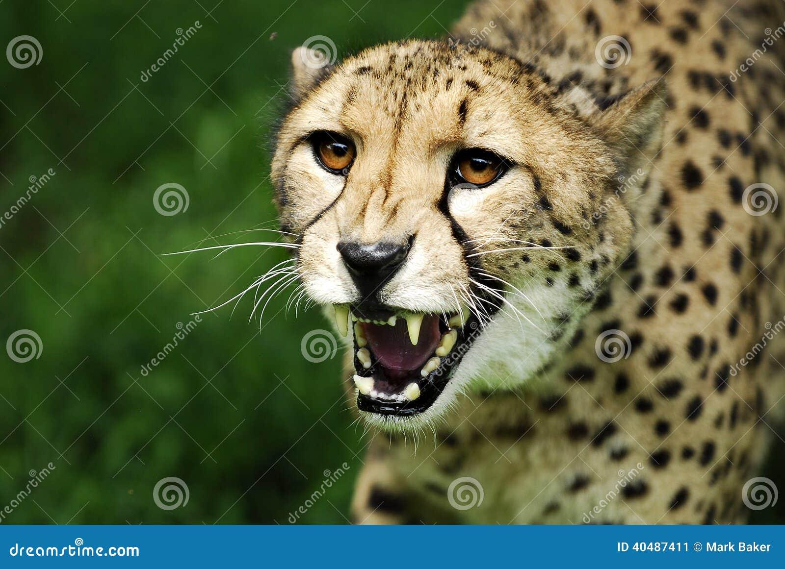 Attacco feroce del ghepardo