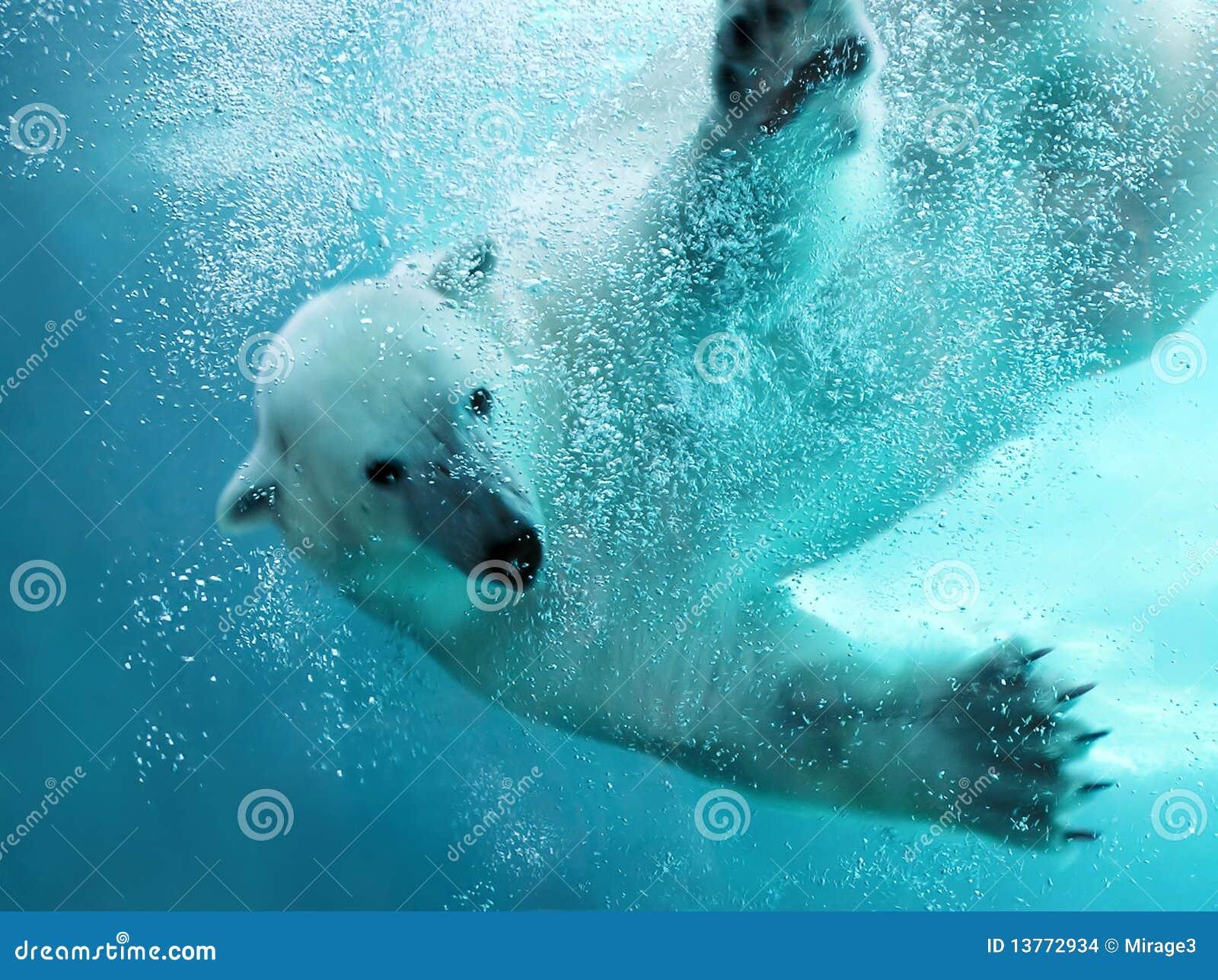 Attacco subacqueo dell orso polare