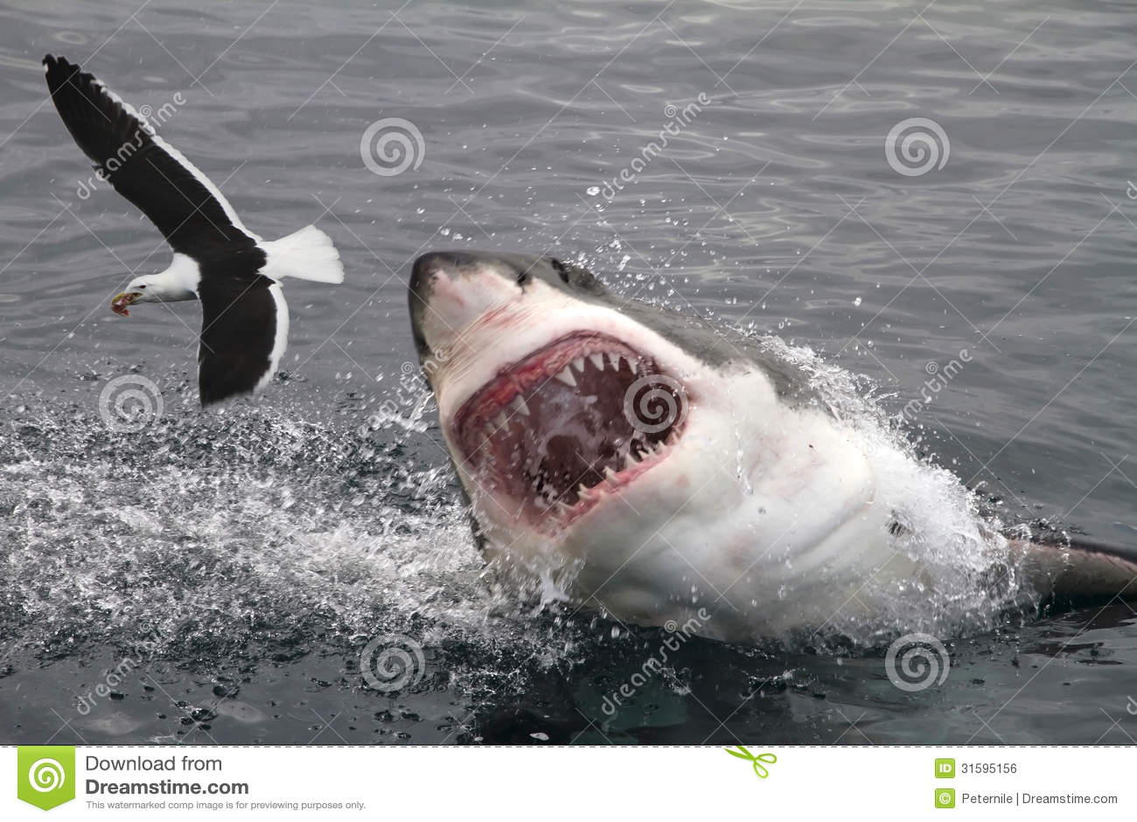 Attack great white shark