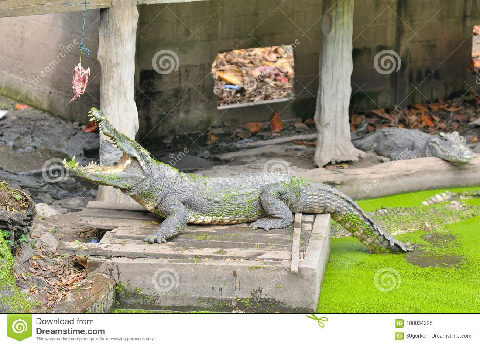 Attente de crocodile alimenter dans la ferme