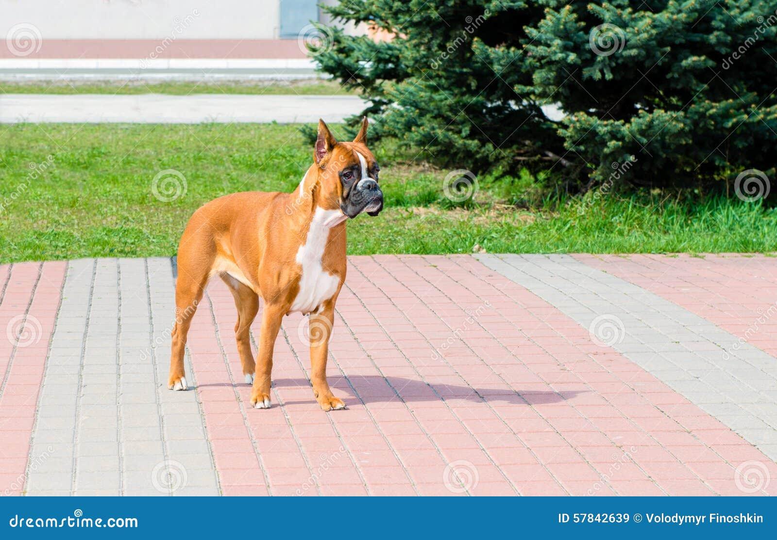Attentes de chien de boxeur