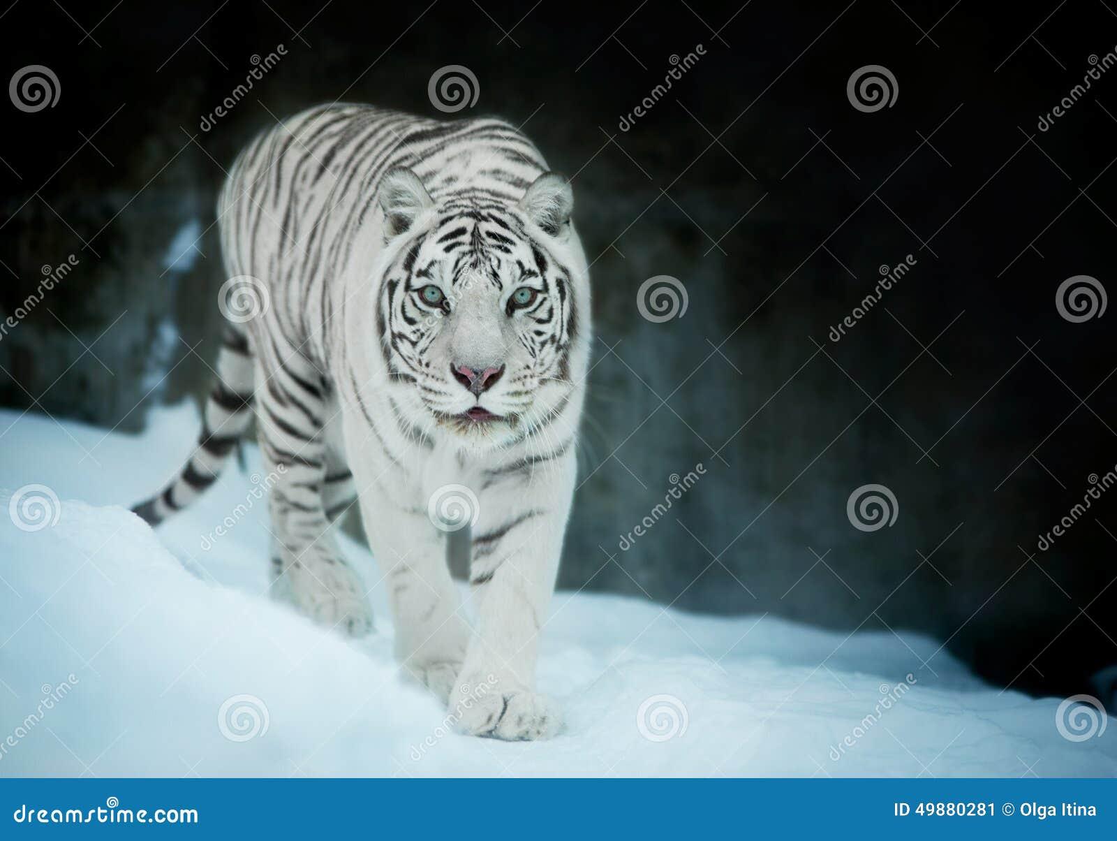 Attention dans les yeux d un tigre de Bengale blanc, marchant sur la neige fraîche