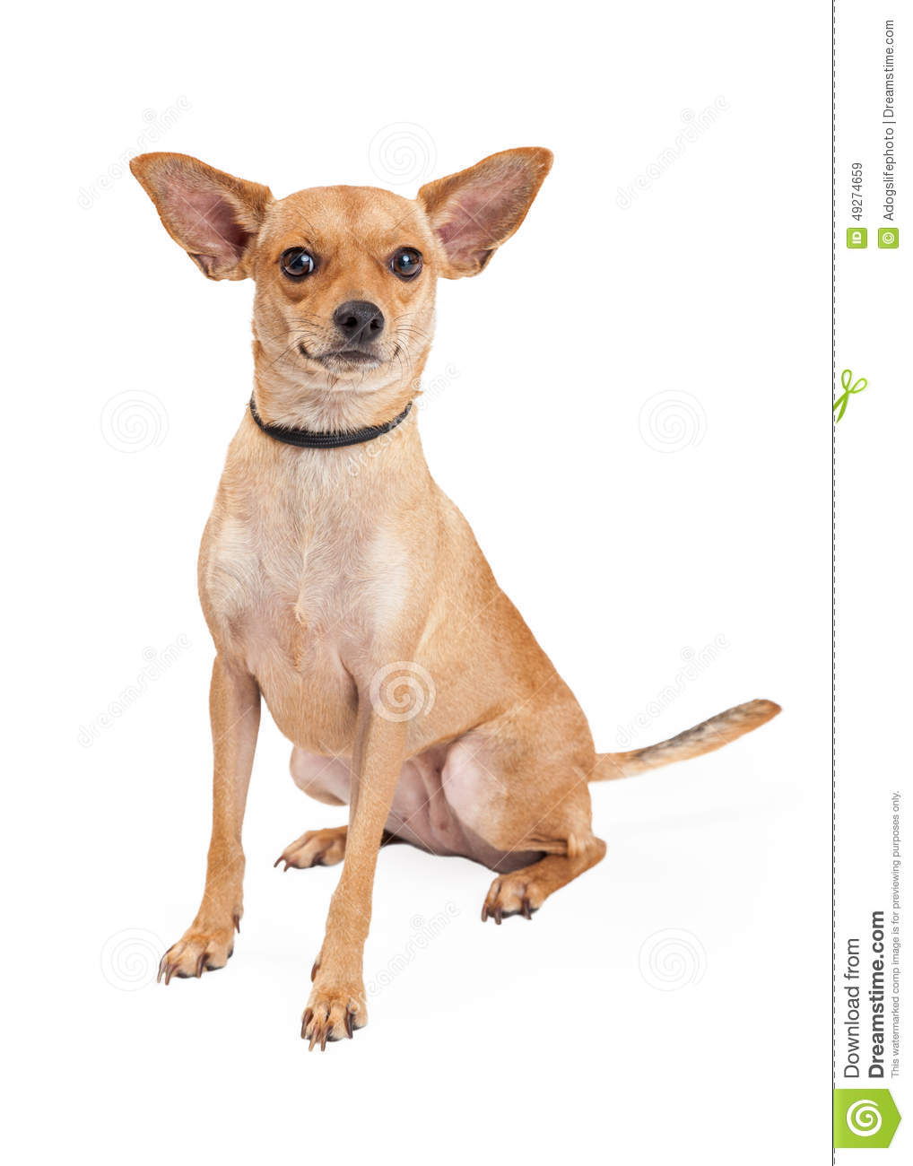 chihuahua mix breeds attentive chihuahua mixed breed dog sitting stock image 7983
