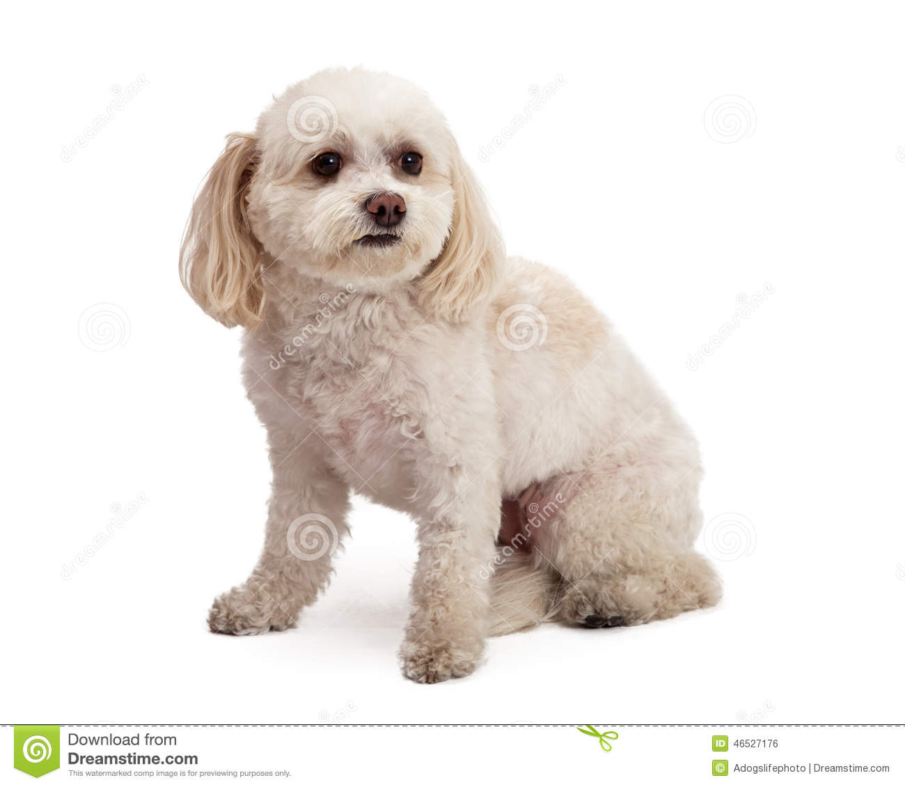 Attentive Maltese And Poodle Mix Breed Dog Sitting