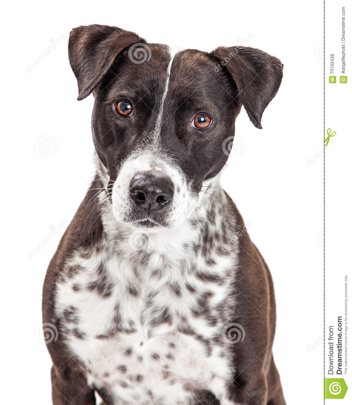Attentive Mixed Breed Spotted Dog Stock Images - 16 Photos   1130 x 1300 jpeg 145kB