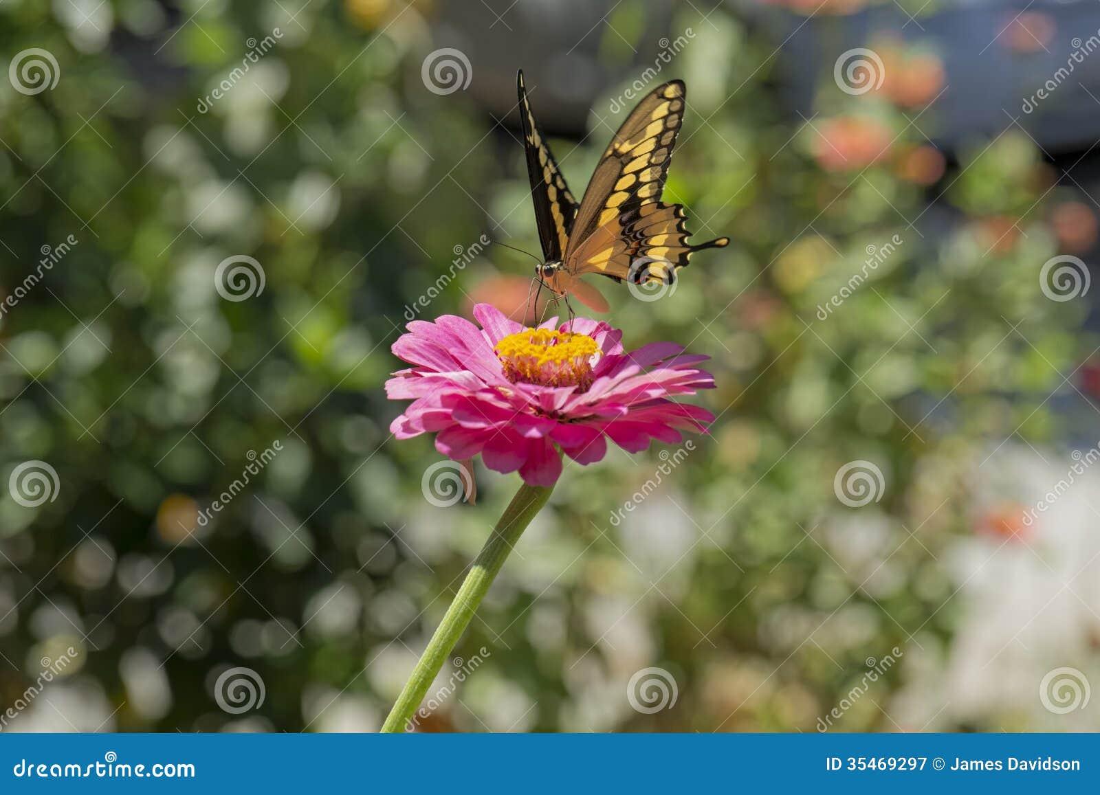 Atterraggio giallo della farfalla sull zinnia