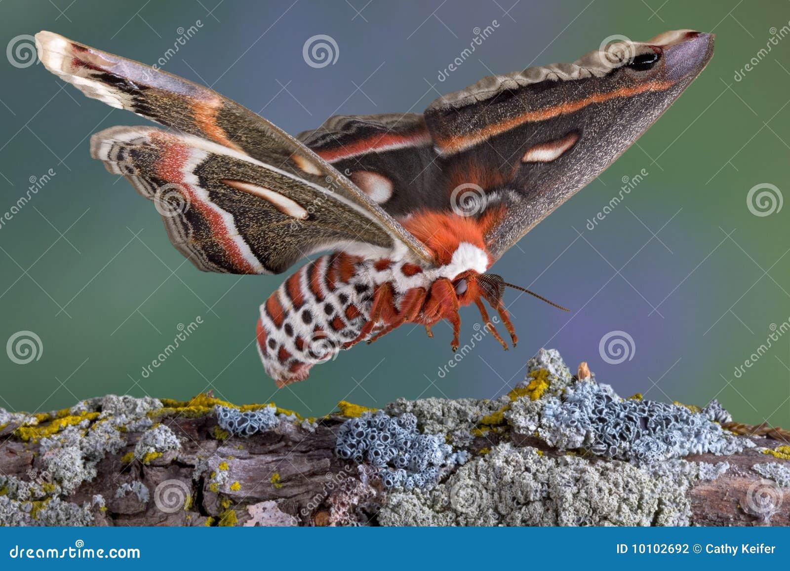 Atterrissage de mite de Cecropia sur le branchement