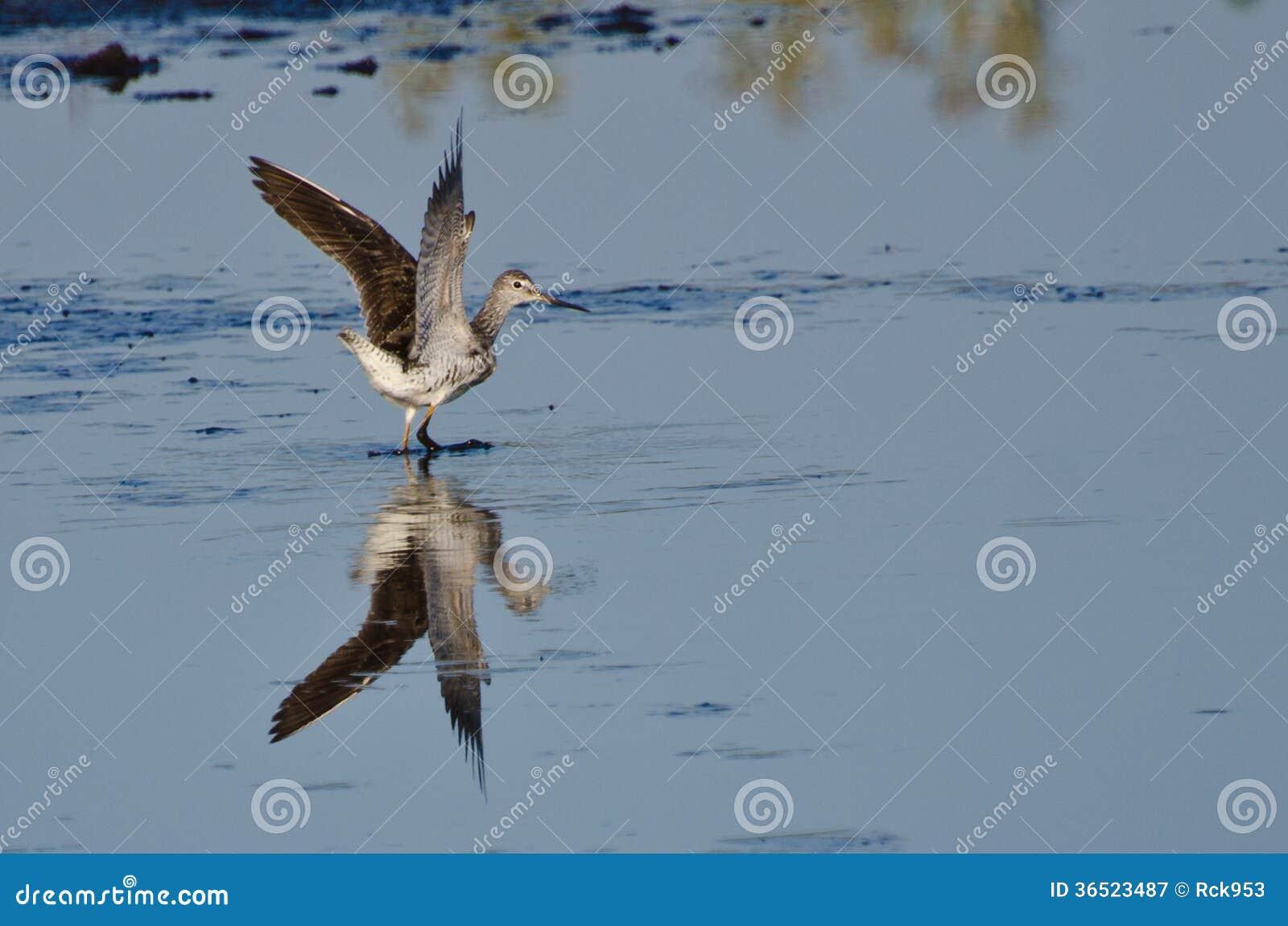 Atterrissage solitaire de bécasseau sur l eau
