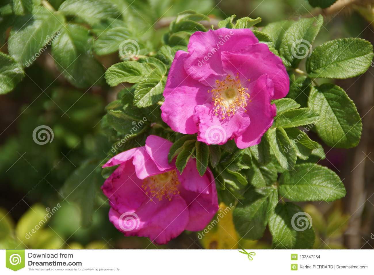 Attractive Flowers Of Pink Color Lives Lit Enlightened By The ...