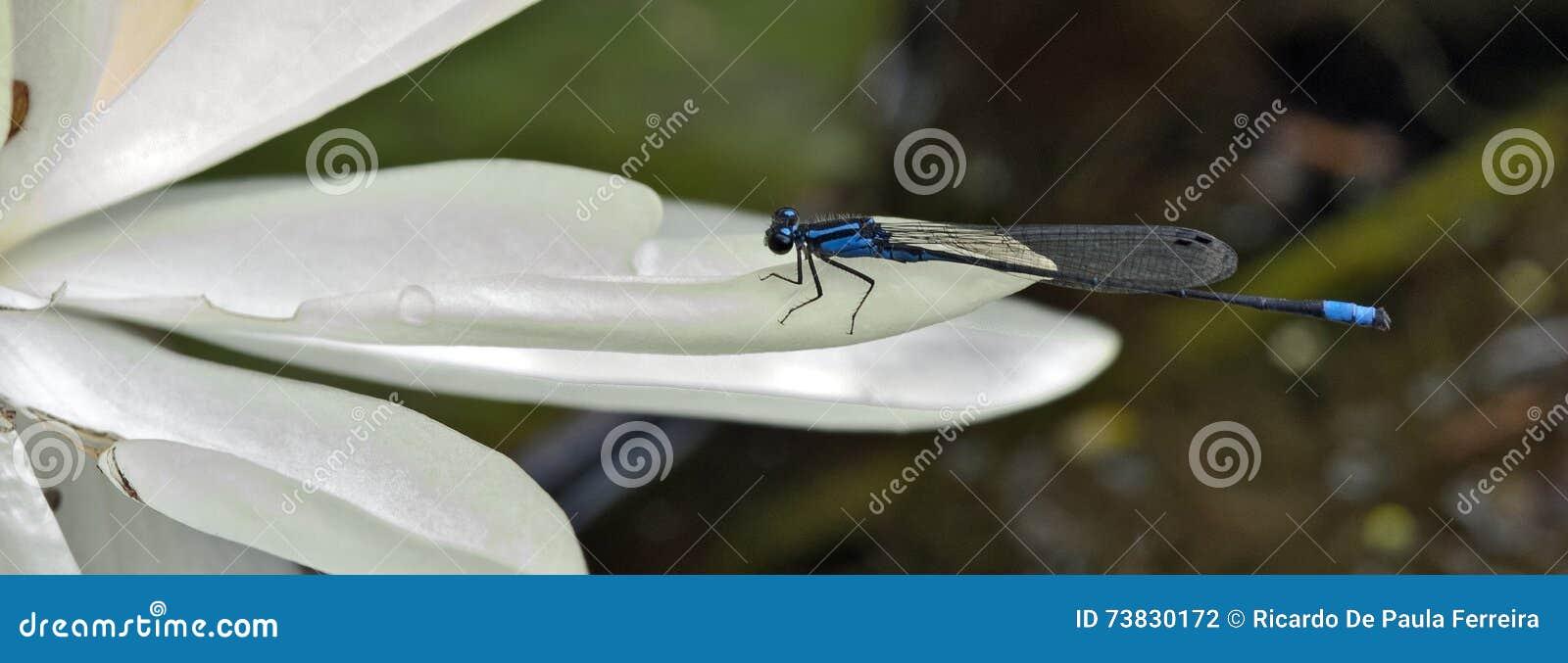 Auberge de libellule en fleur de lotus