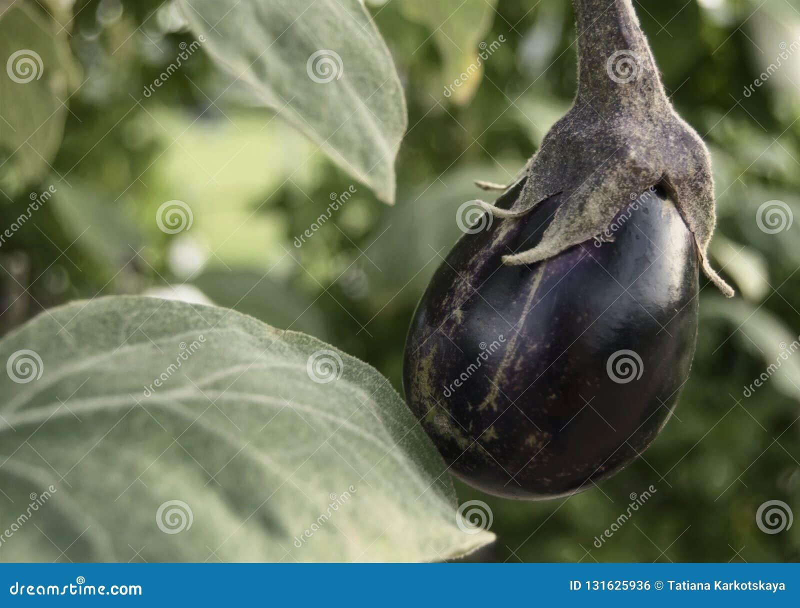 Aubergine op een struik
