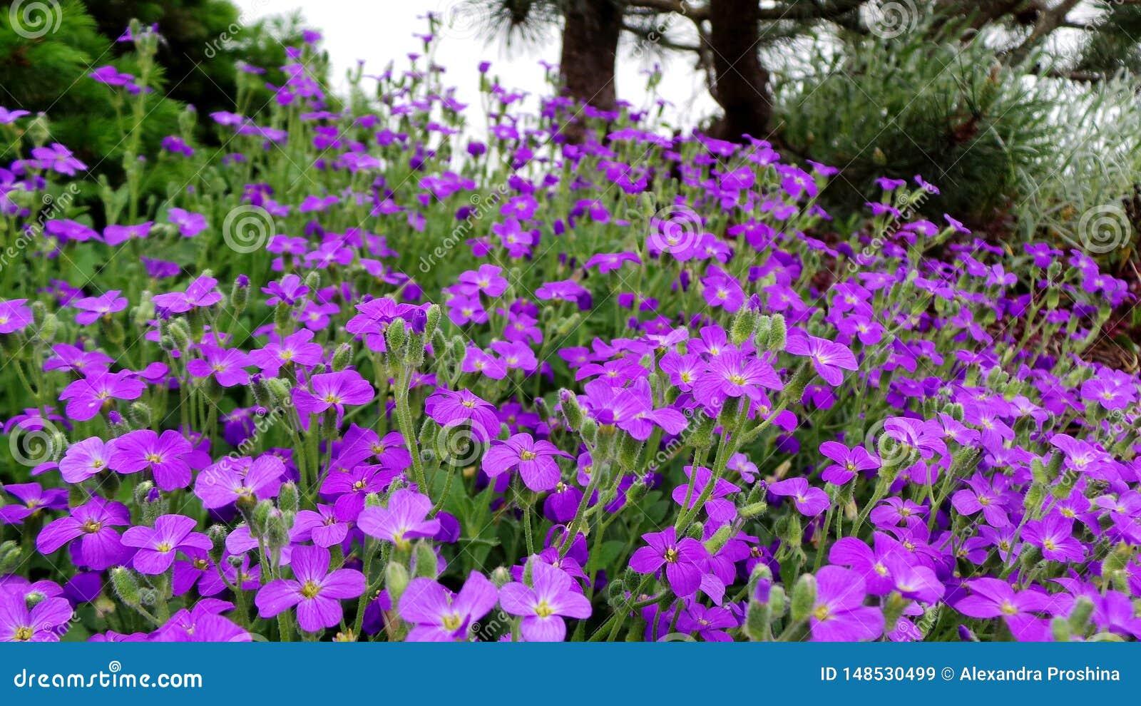 Aubrietta alpine in spring rockery during flowering on a sunny day
