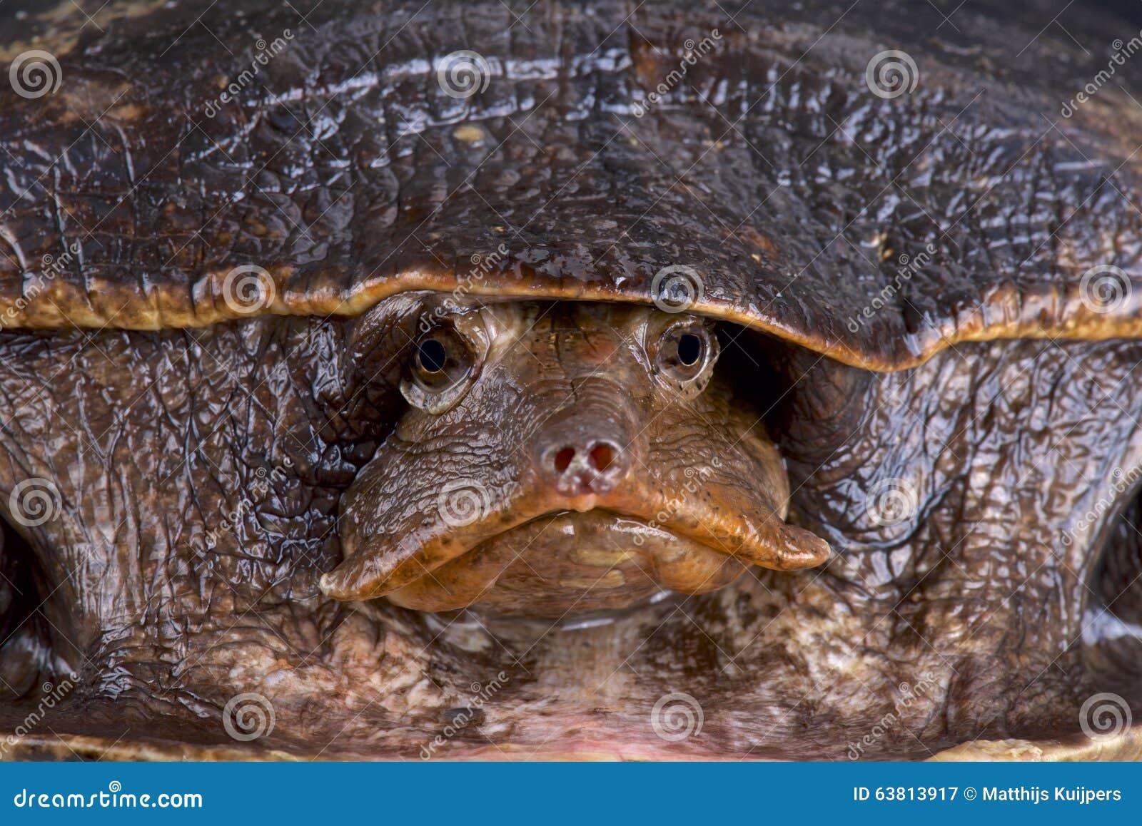 Aubry S Flapshell Turtle Cycloderma Aubryi Stock Photo