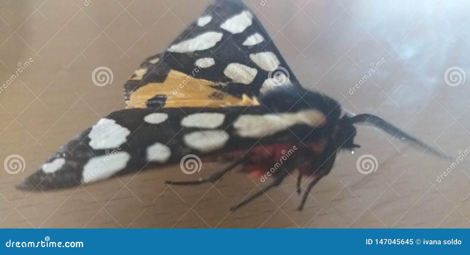 Aucun papillon de nom qui a cassé sa jambe