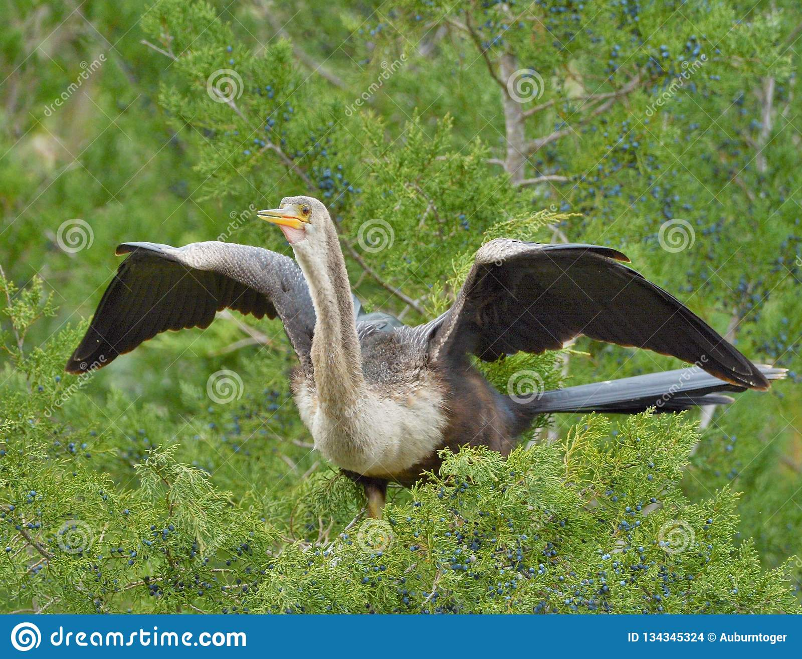 Aufeinander folgendes Tauchen kräuselt die Federn des Anhinga und erfordert den Vogel, viel seiner Zeit zu verbringen putzend