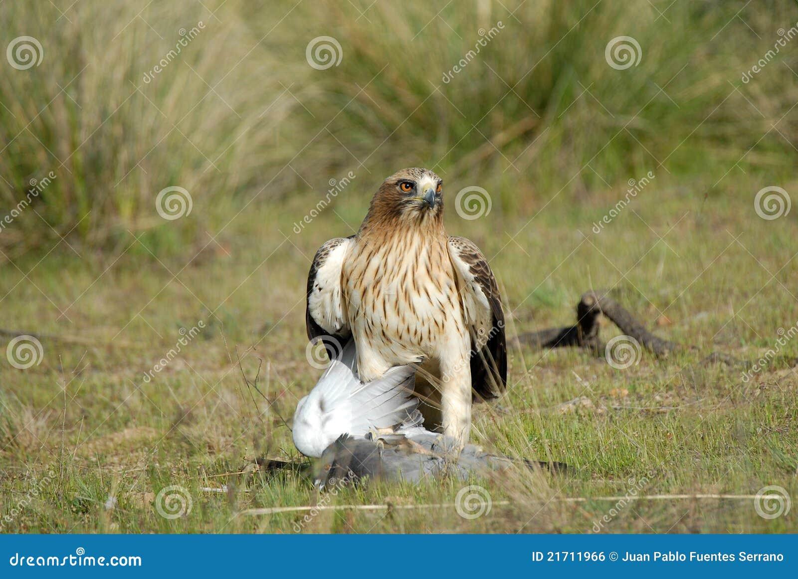Aufgeladener Adler mit einer Taube
