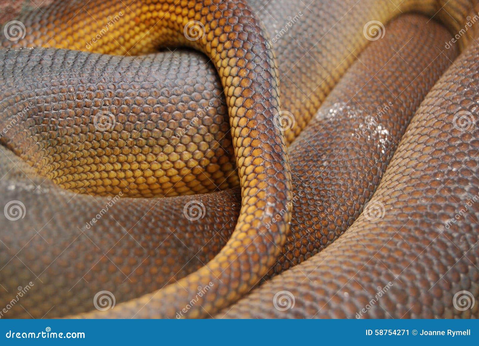 Aufgerollte Amethystpythonschlangen-Haut stuft Detail ein