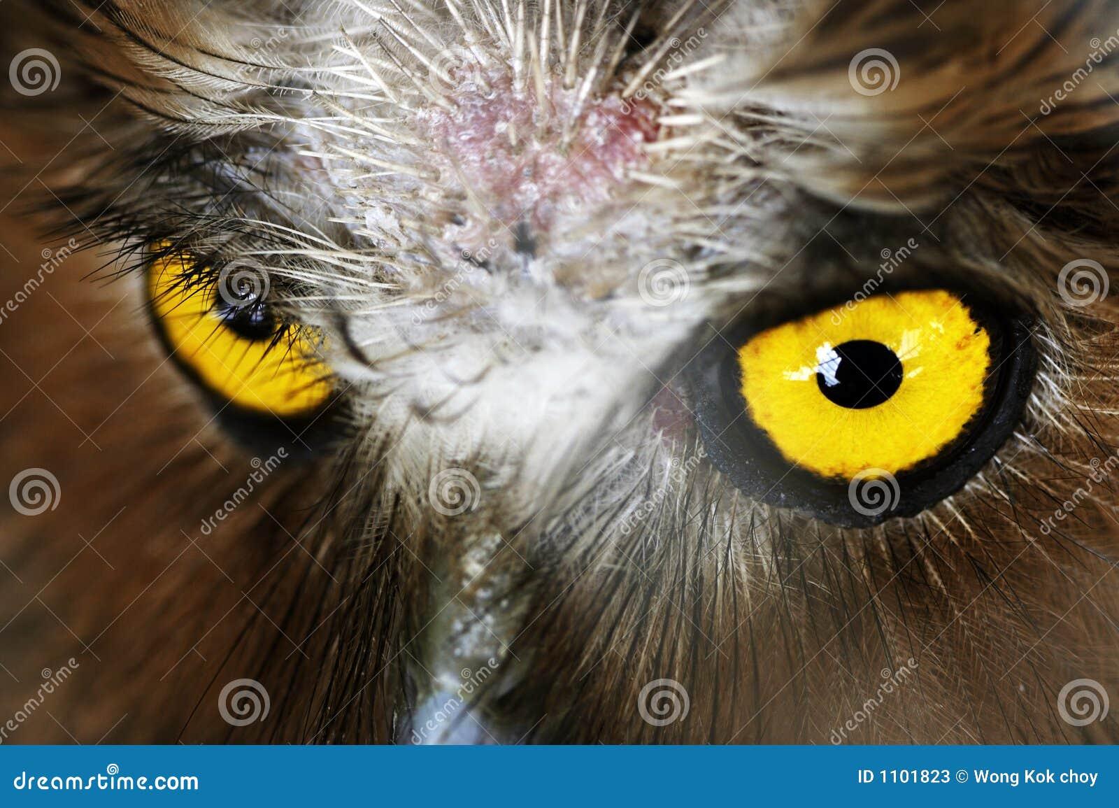 Auge der Eule