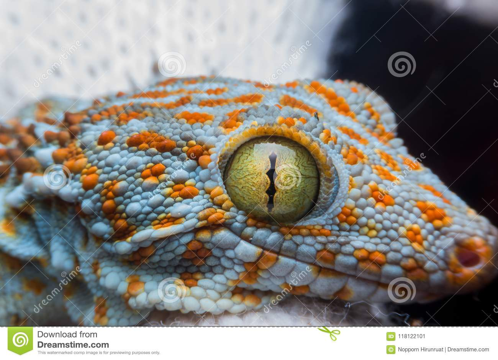 Auge des Geckos
