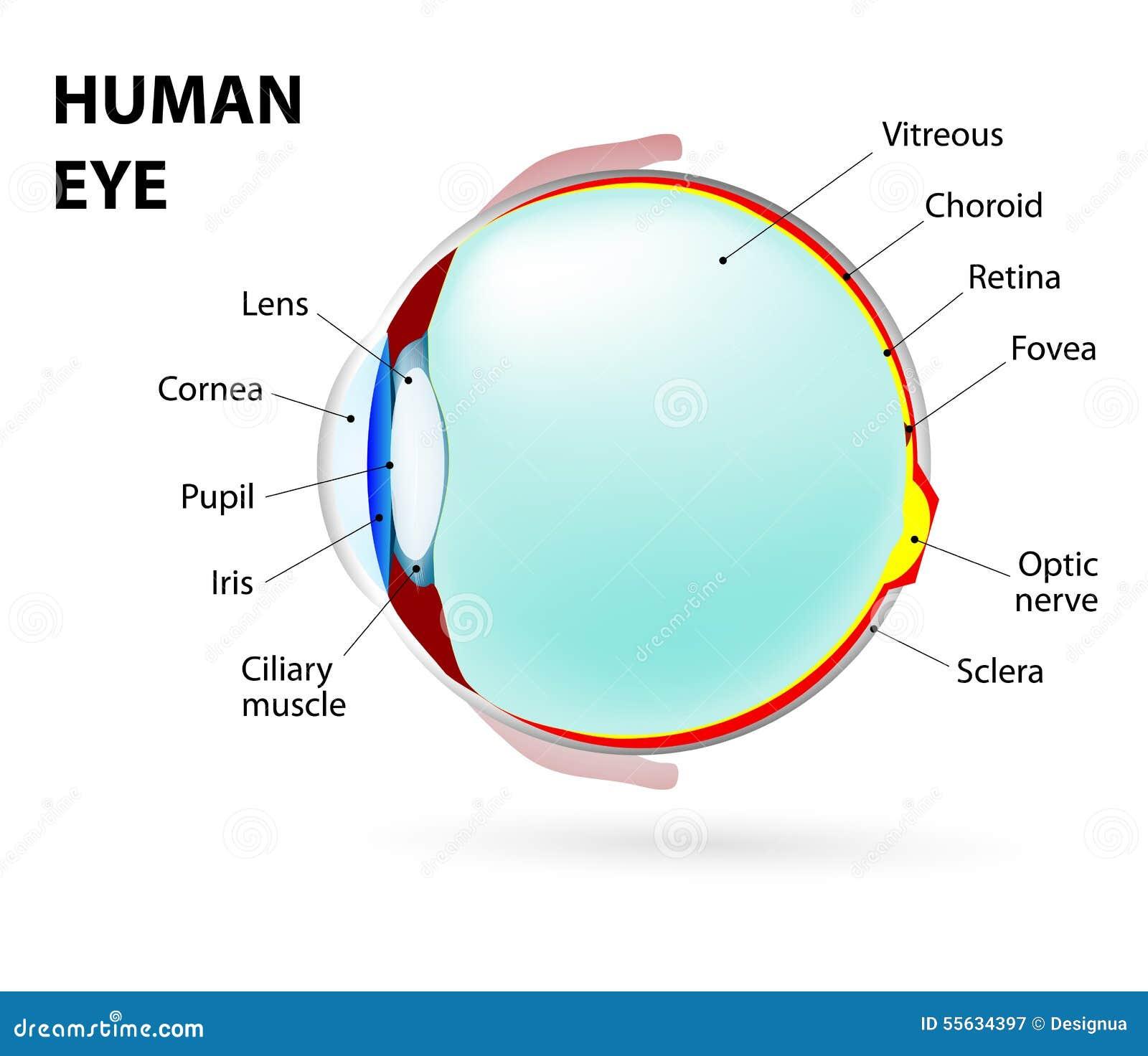 Auge Menschliche Anatomie vektor abbildung. Illustration von obacht ...