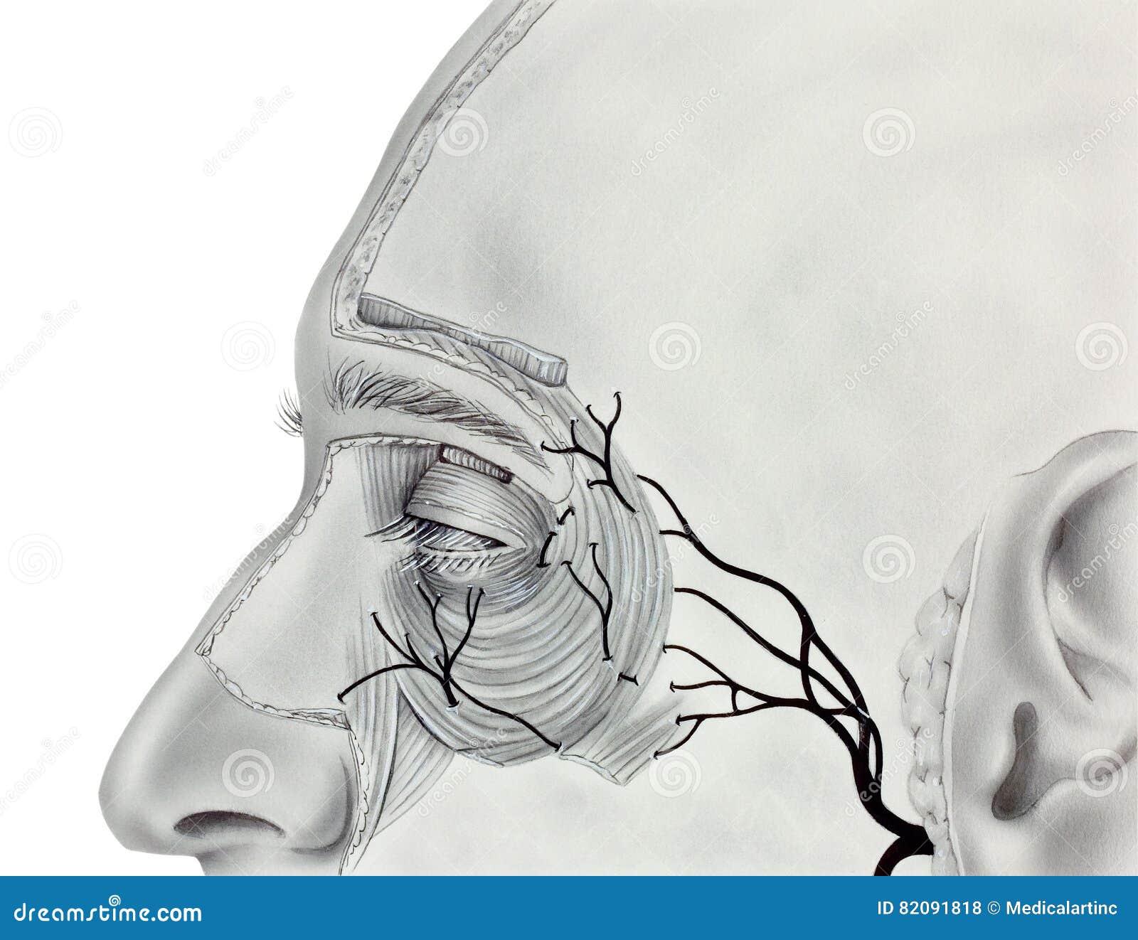 Tolle Nerven Im Auge Zeitgenössisch - Menschliche Anatomie Bilder ...