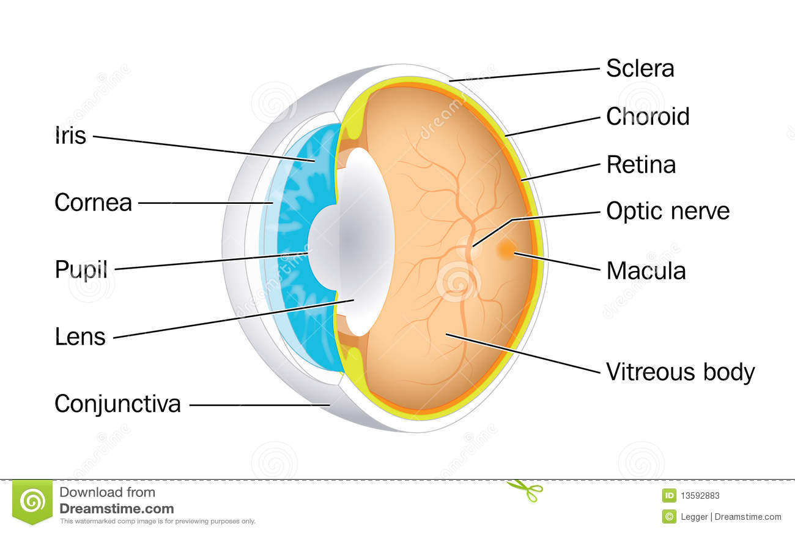 Muskeln des Auges vektor abbildung. Illustration von karosserie ...