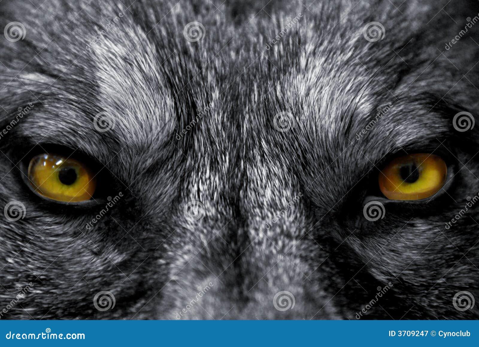 Augen des Wolfs