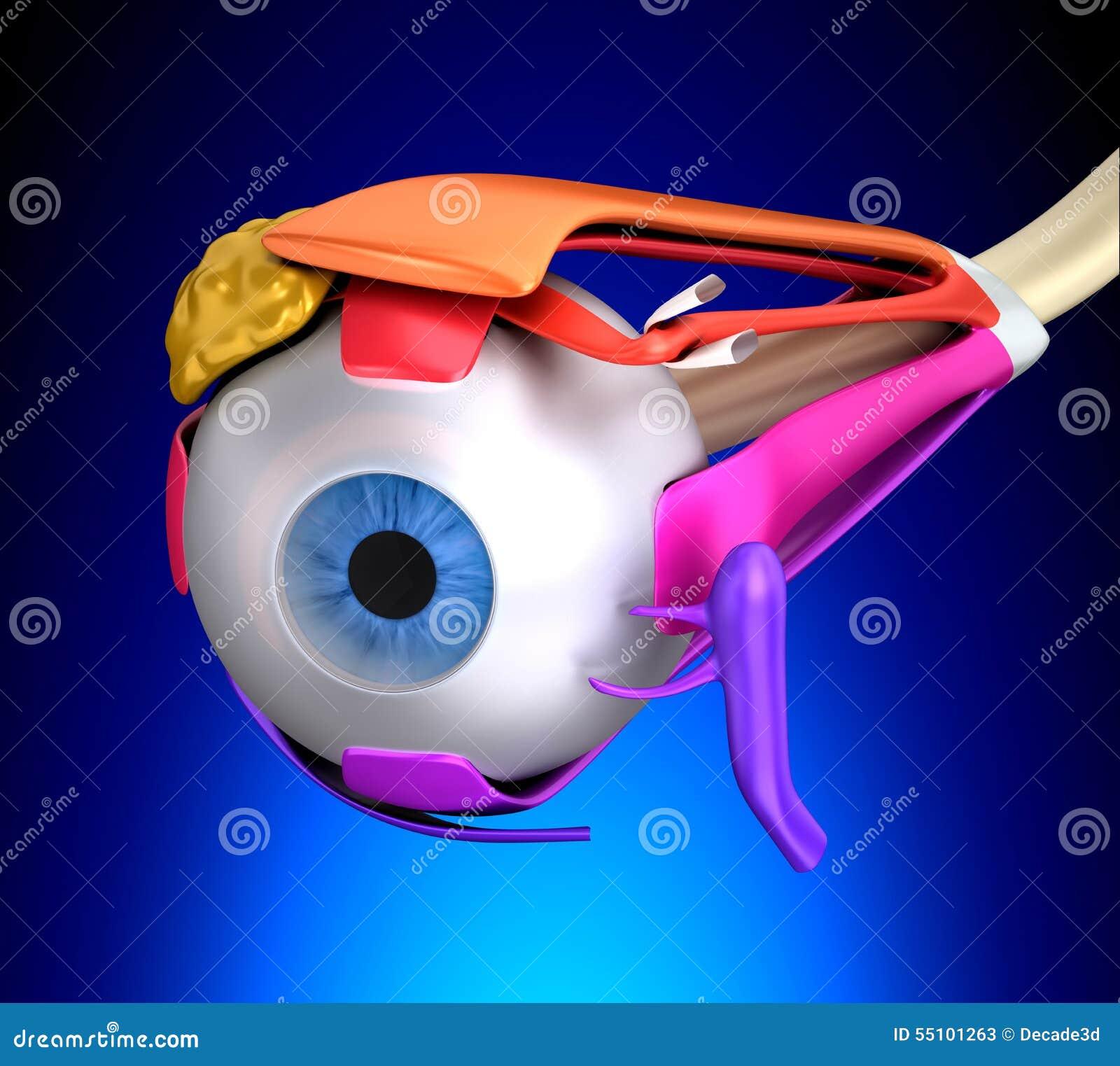 Augen-Muskel-menschliche Anatomie - Querschnitt Auf Blauem ...
