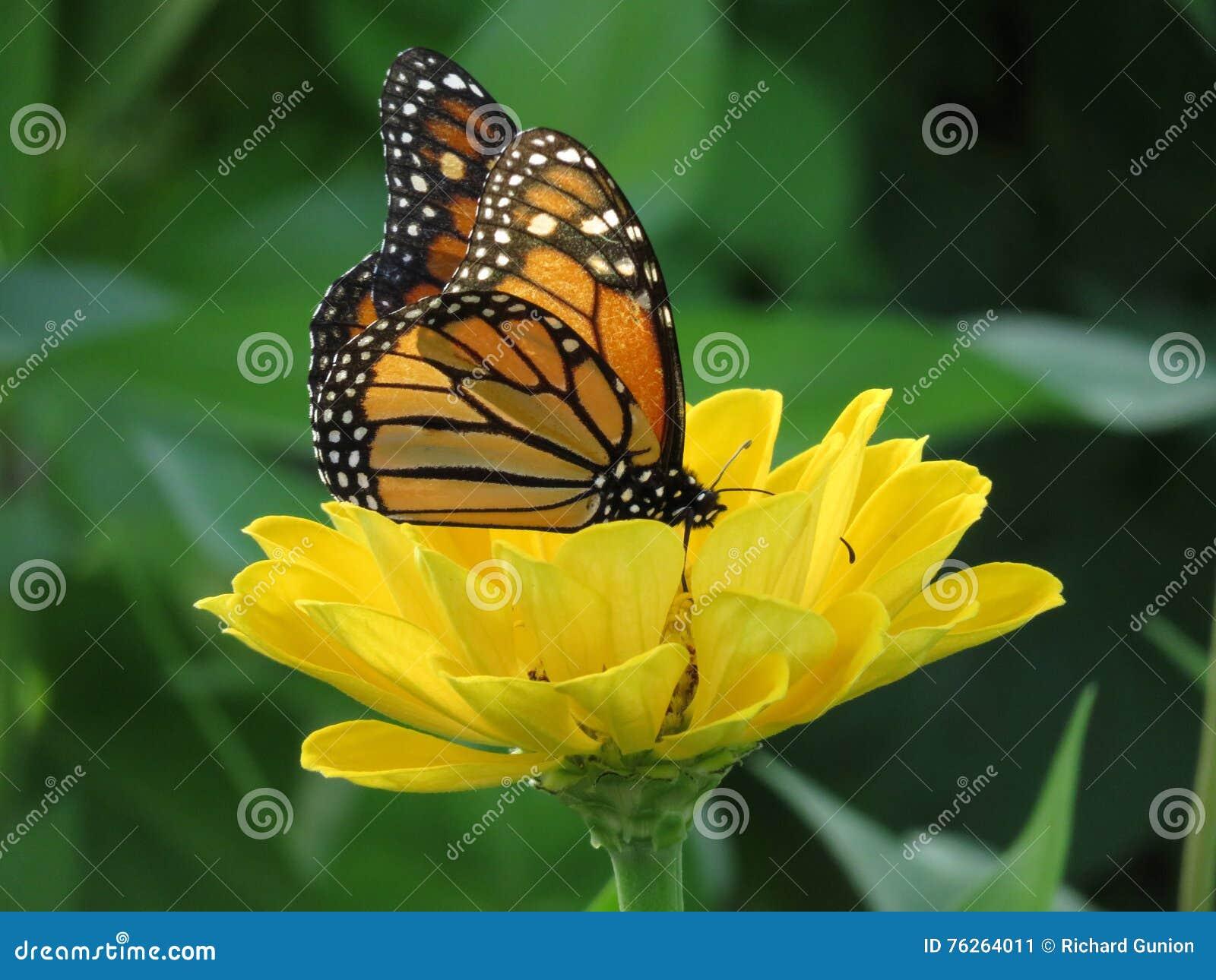 August Monarch Butterfly