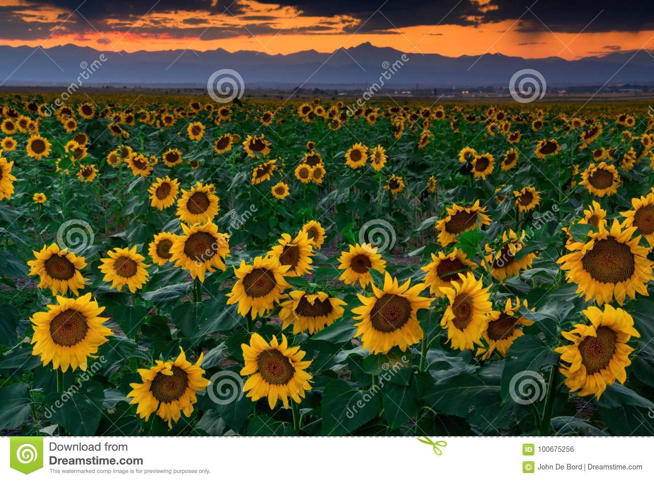 August Sunflowers In Colorado